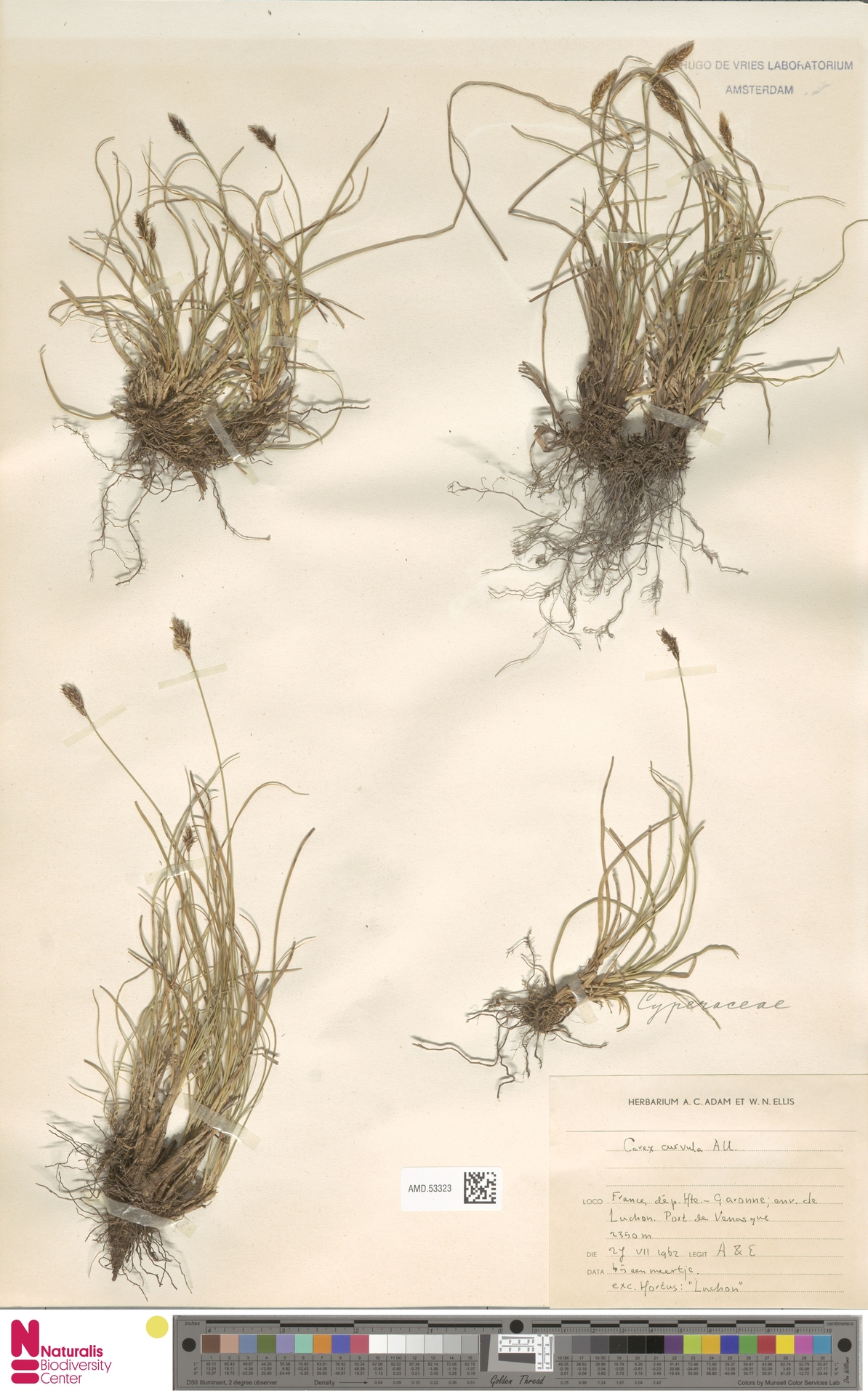 AMD.53323 | Carex curvula All.