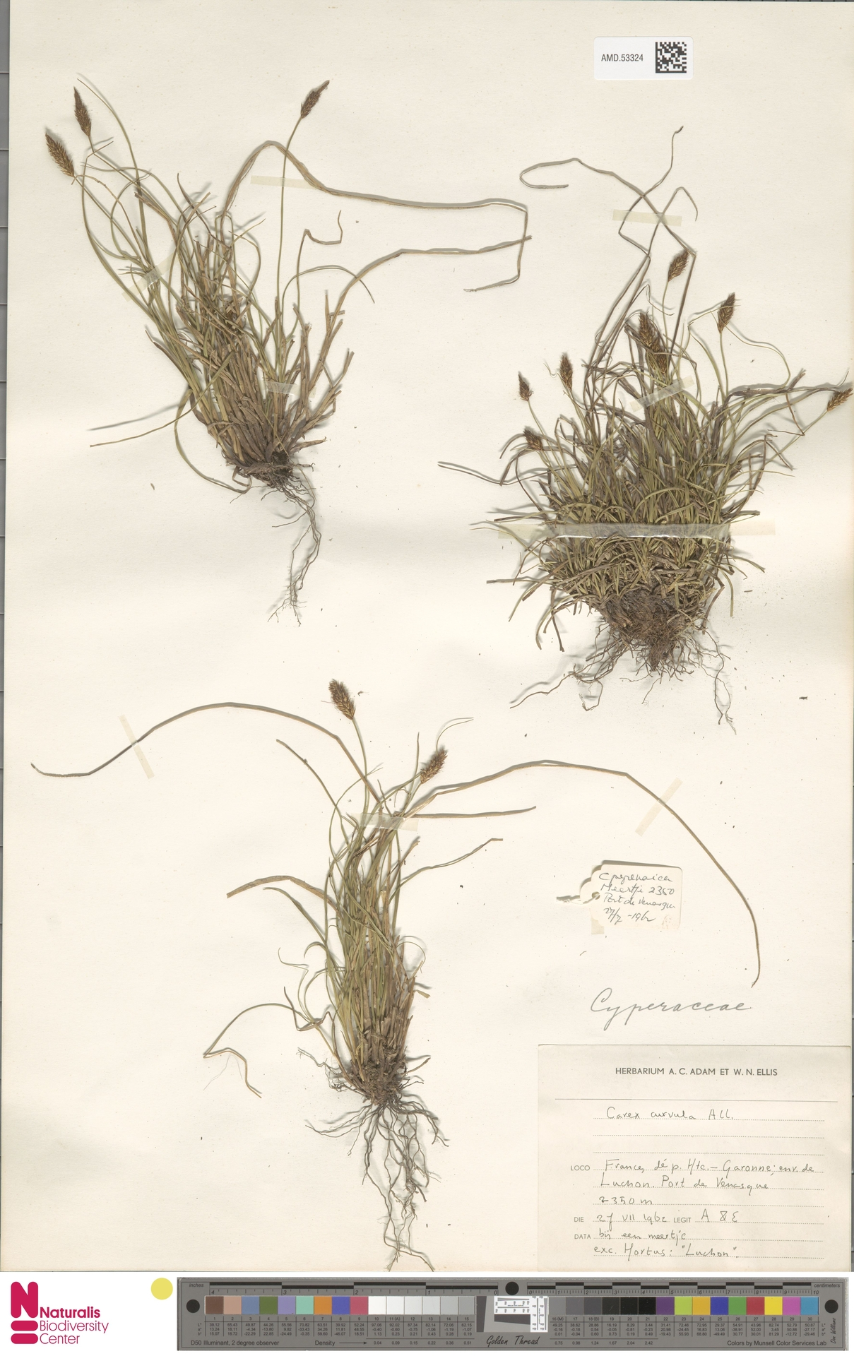 AMD.53324 | Carex curvula All.