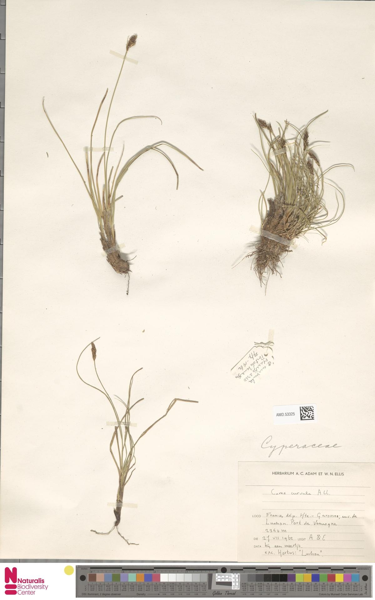AMD.53325   Carex curvula All.