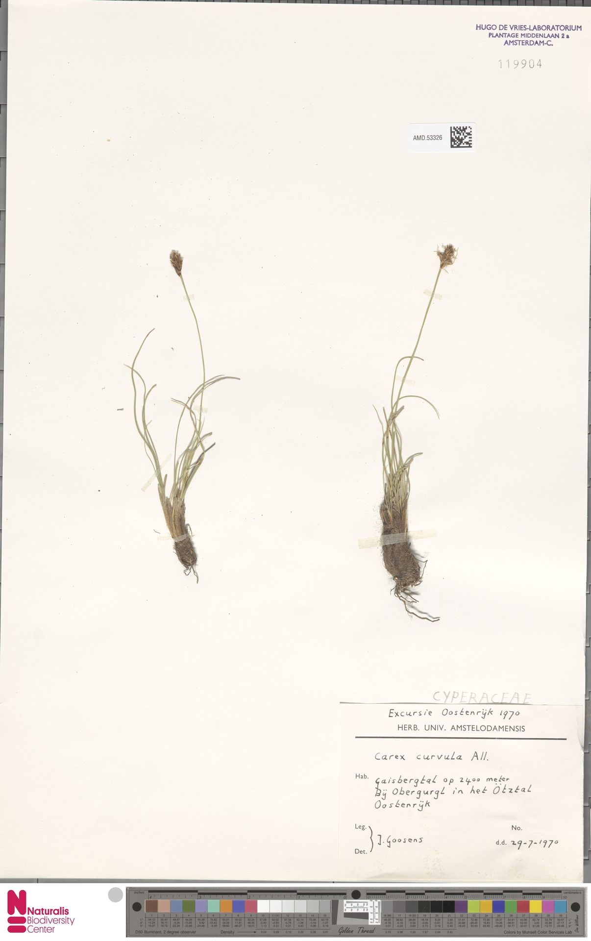 AMD.53326 | Carex curvula All.