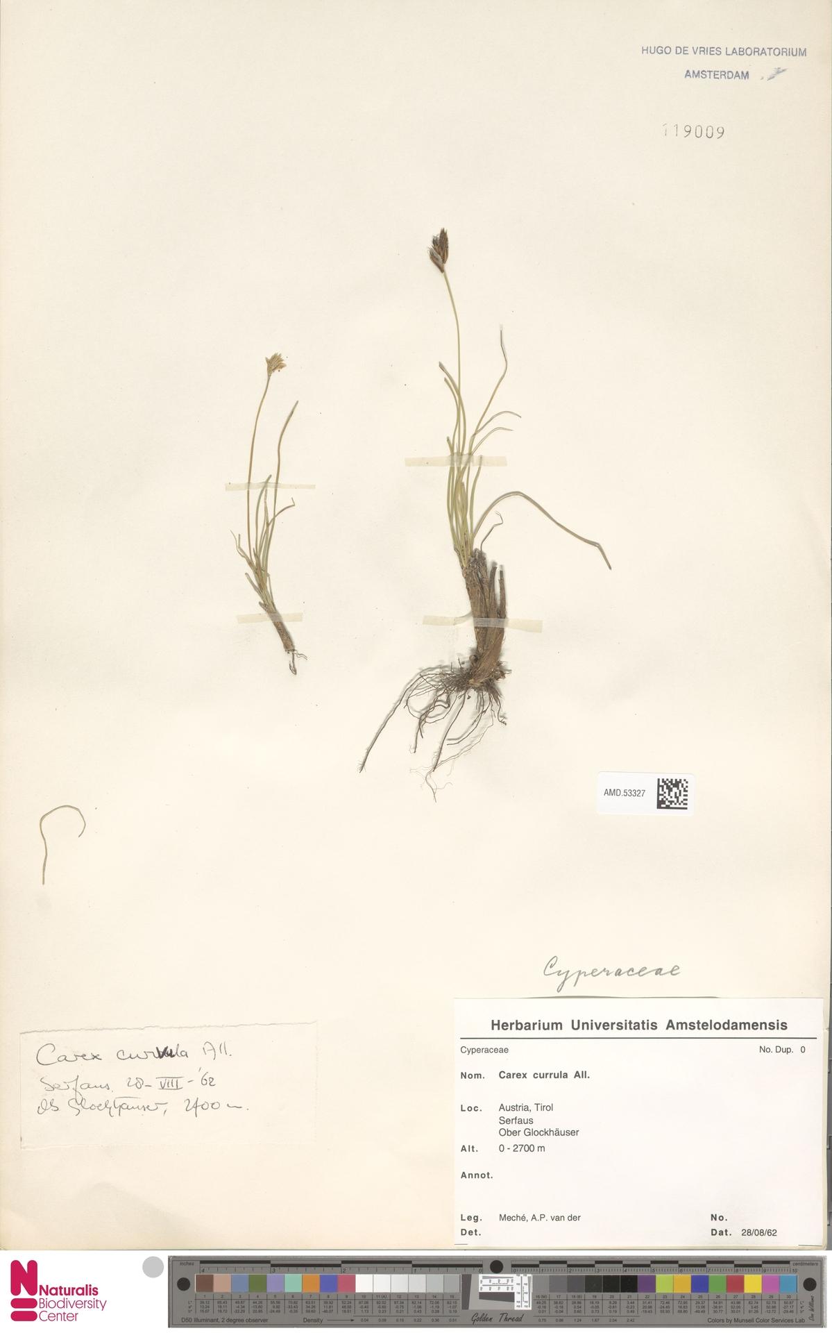 AMD.53327 | Carex curvula All.
