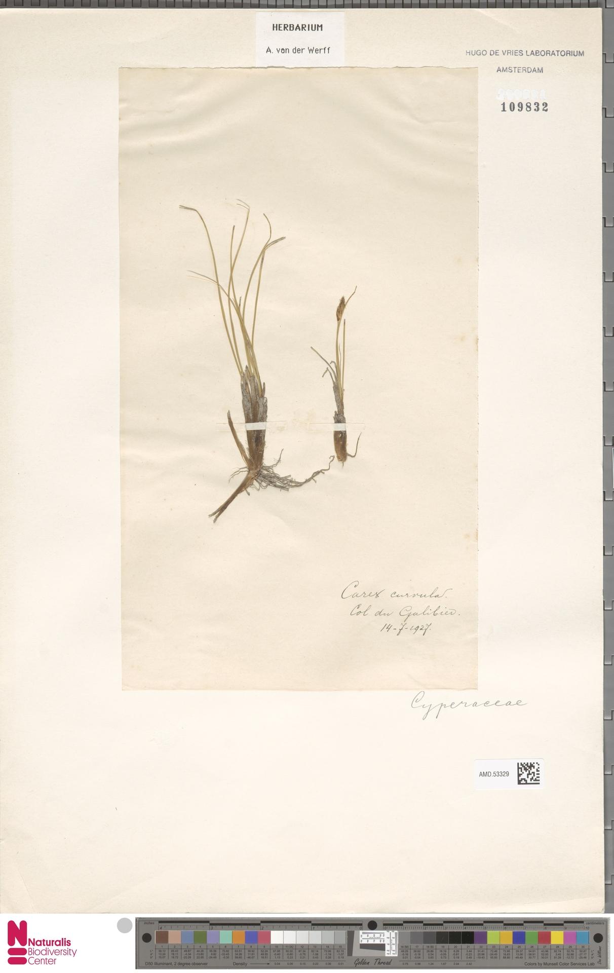 AMD.53329   Carex curvula All.