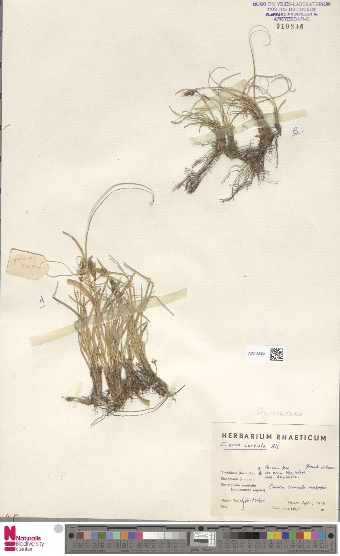 AMD.53331 | Carex curvula All.