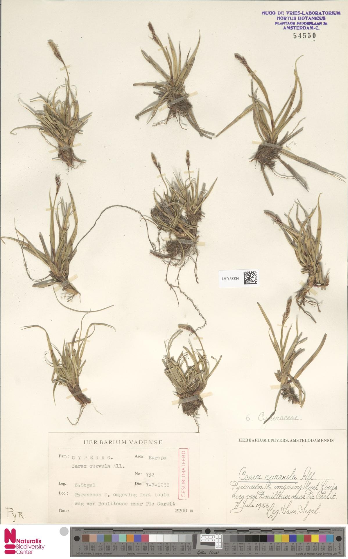 AMD.53334 | Carex curvula All.