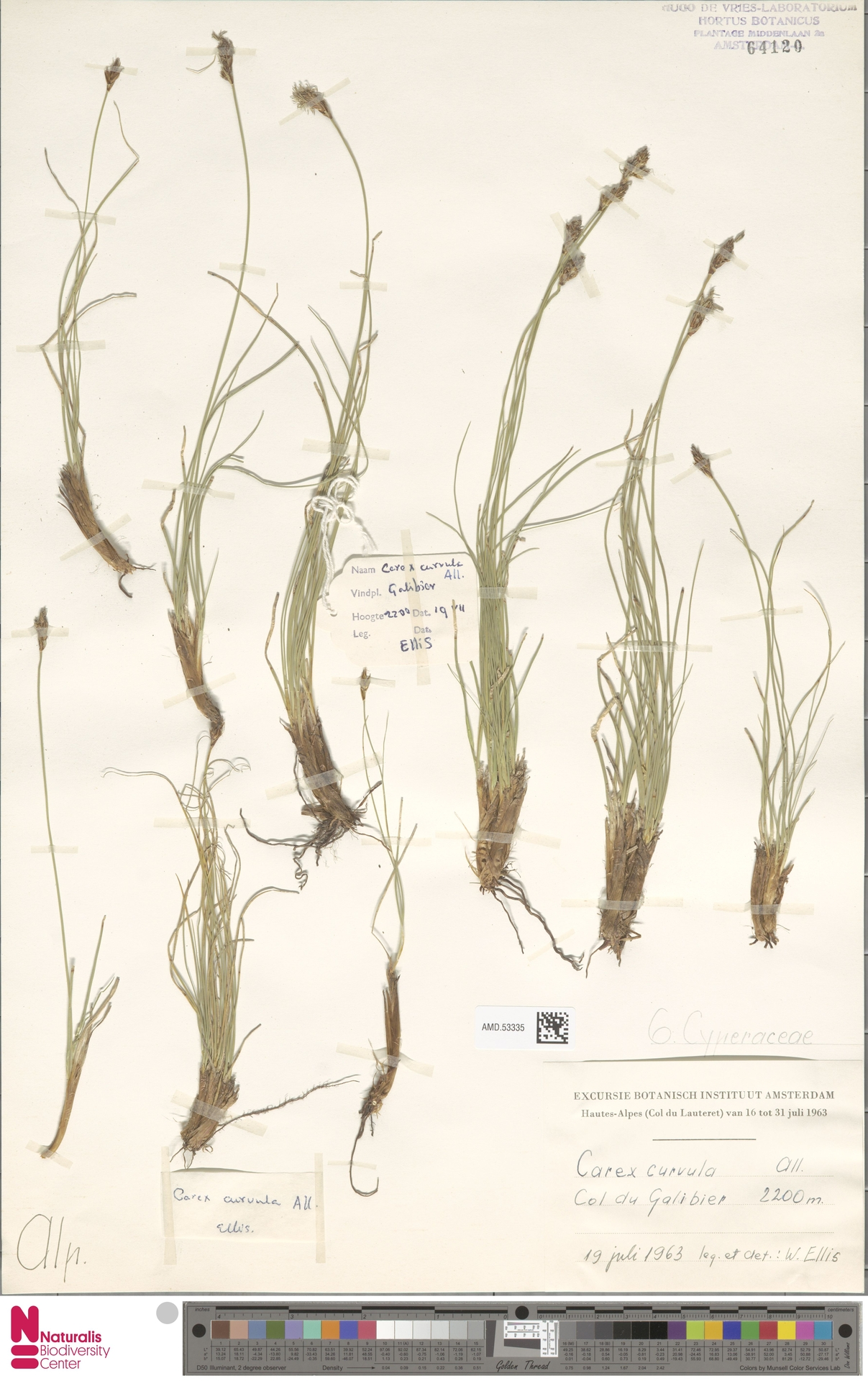 AMD.53335 | Carex curvula All.