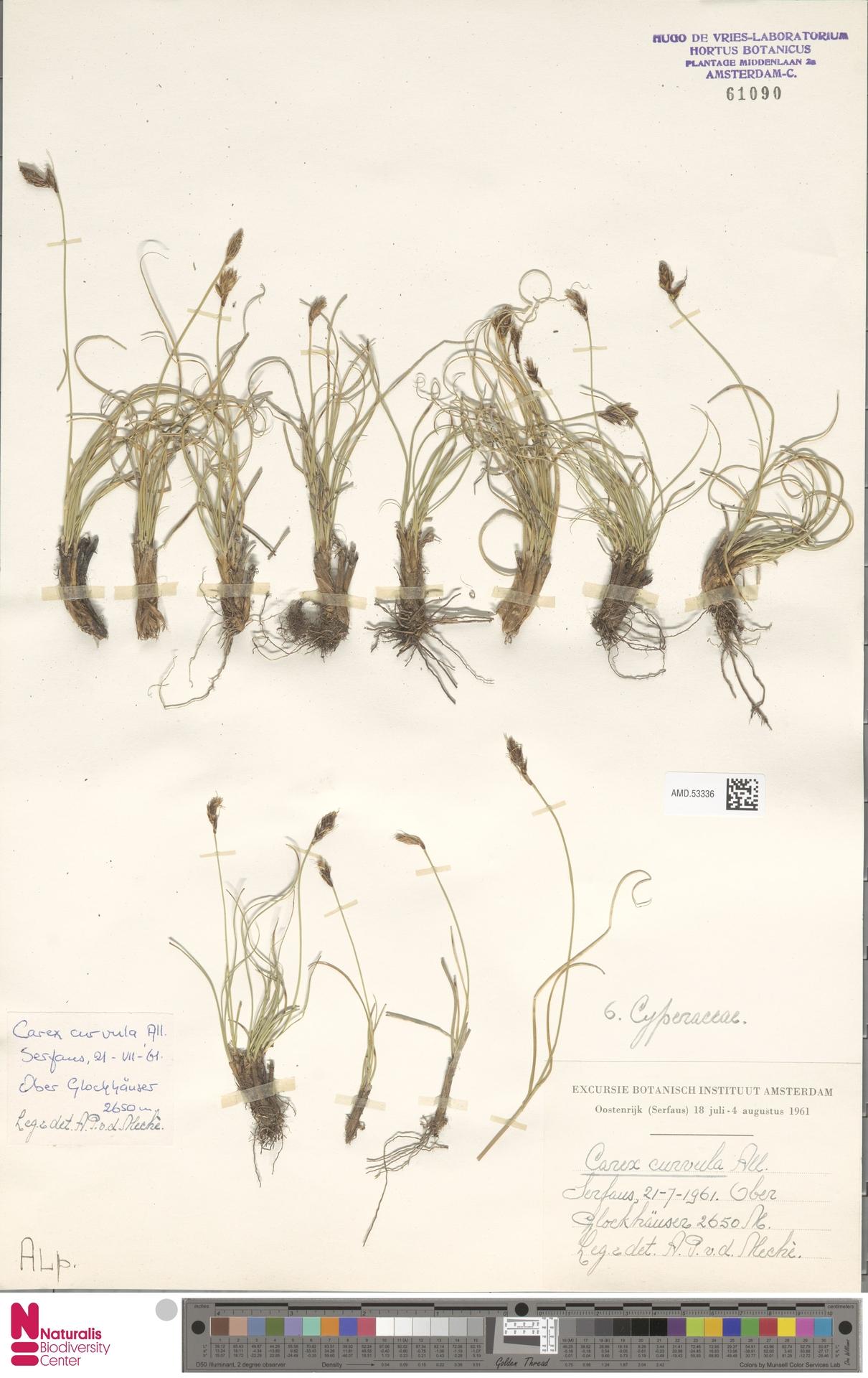 AMD.53336 | Carex curvula All.