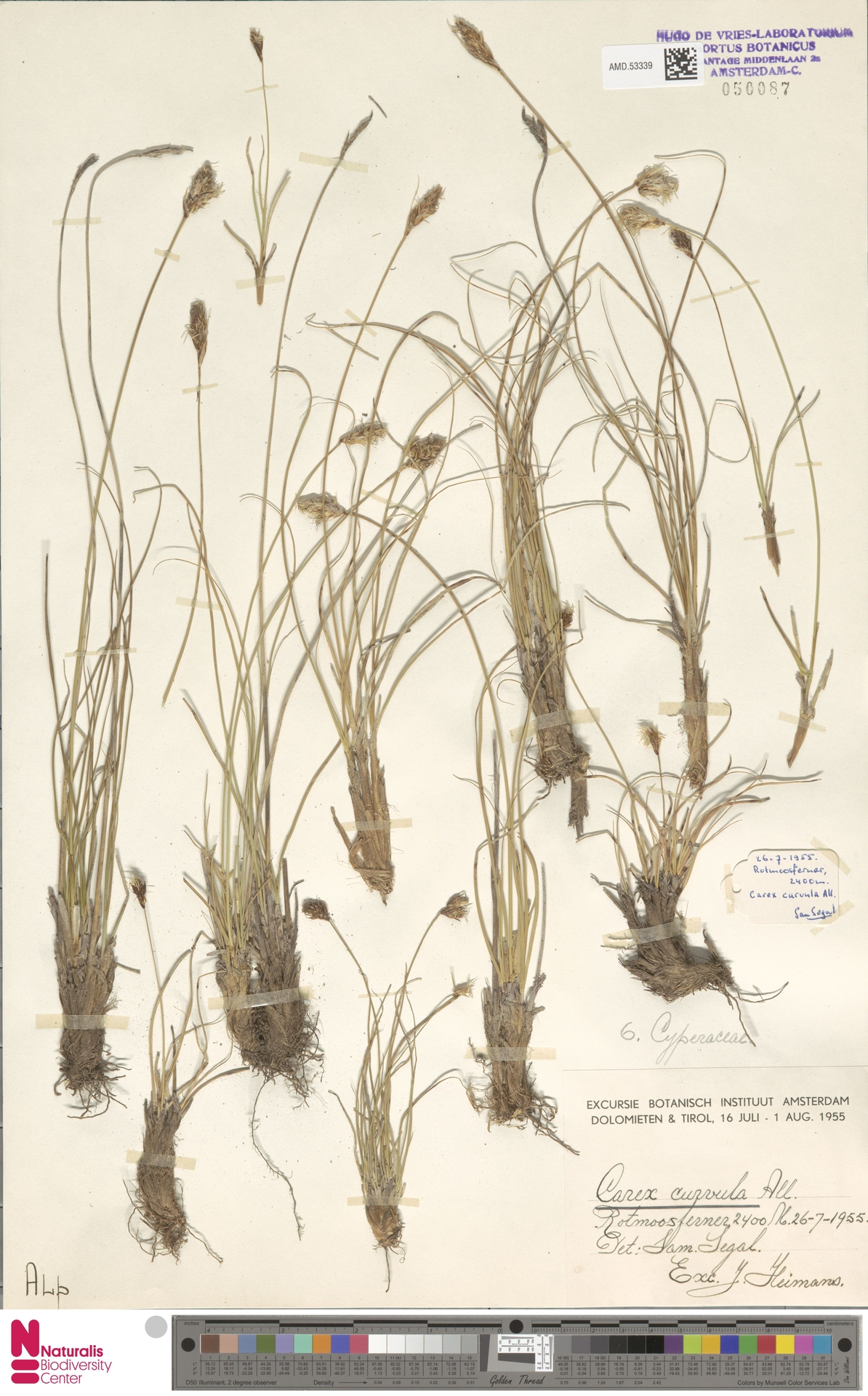 AMD.53339 | Carex curvula All.