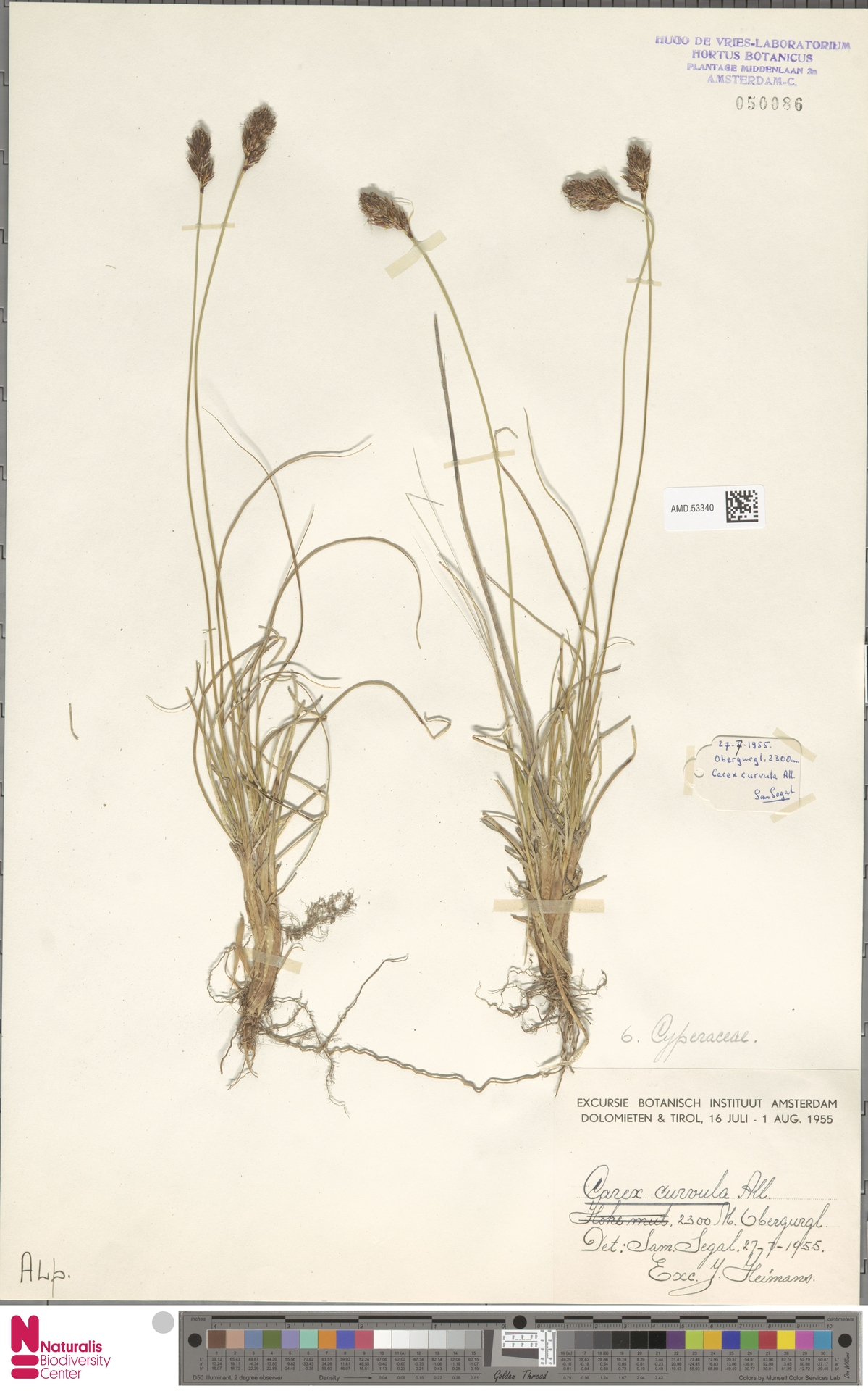 AMD.53340 | Carex curvula All.