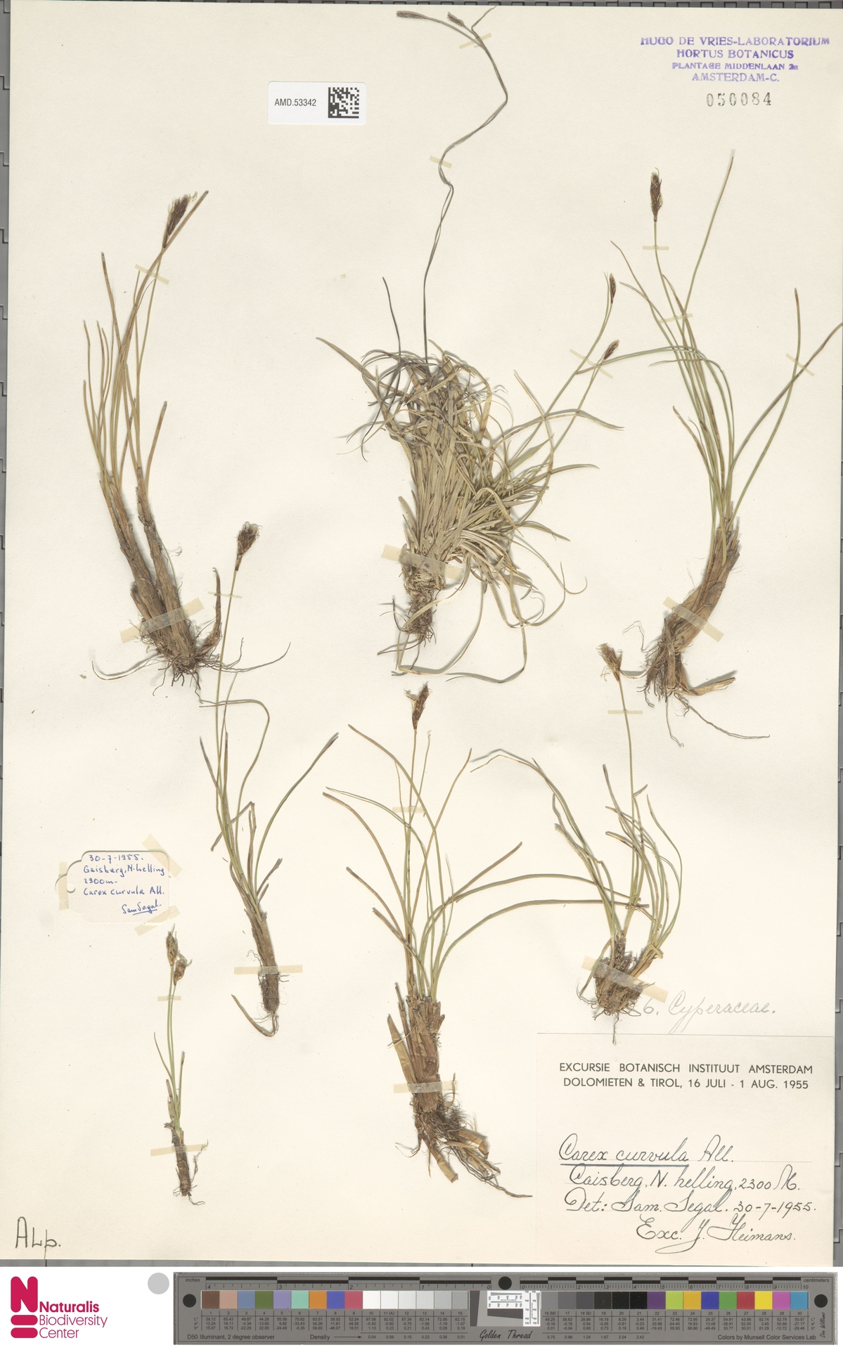 AMD.53342 | Carex curvula All.
