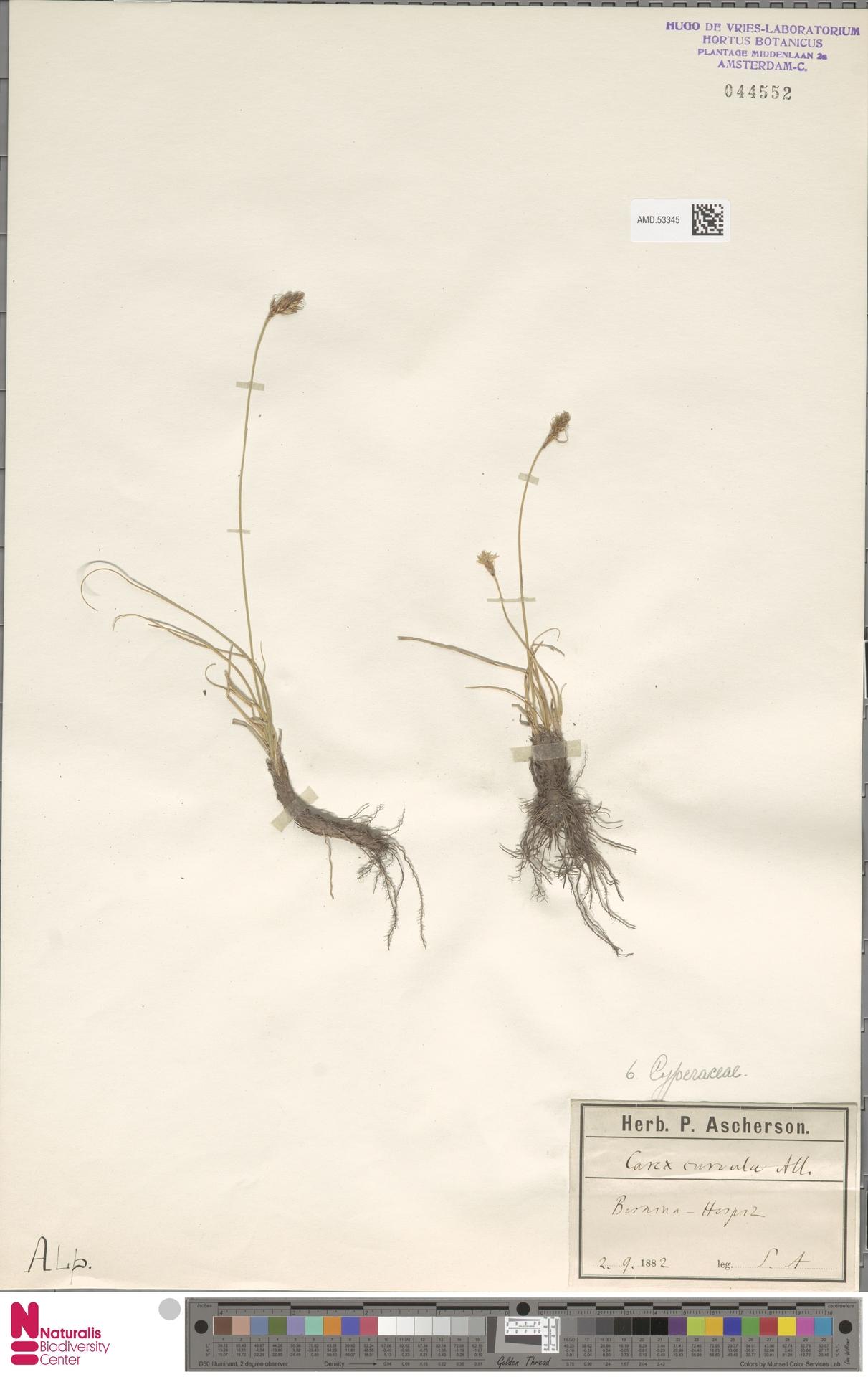 AMD.53345 | Carex curvula All.