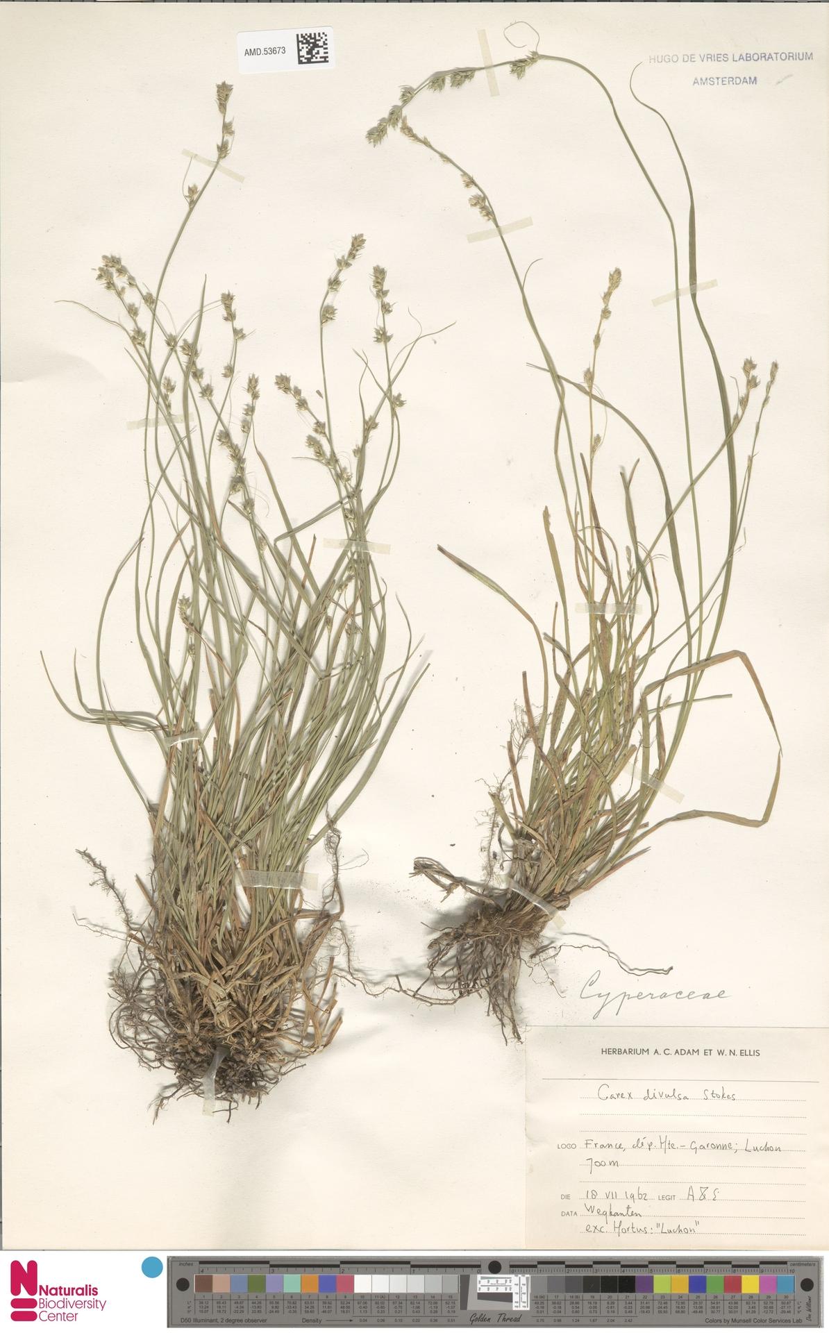 AMD.53673 | Carex divulsa Stokes