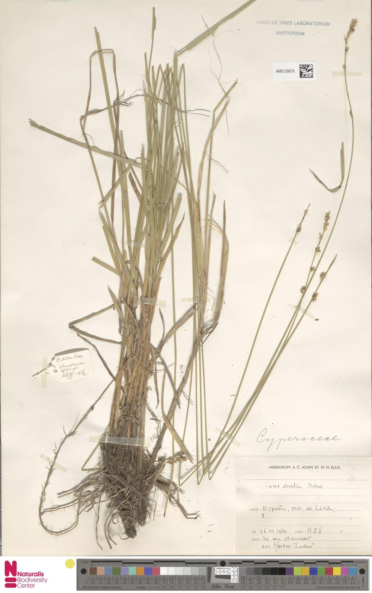 AMD.53676 | Carex divulsa Stokes