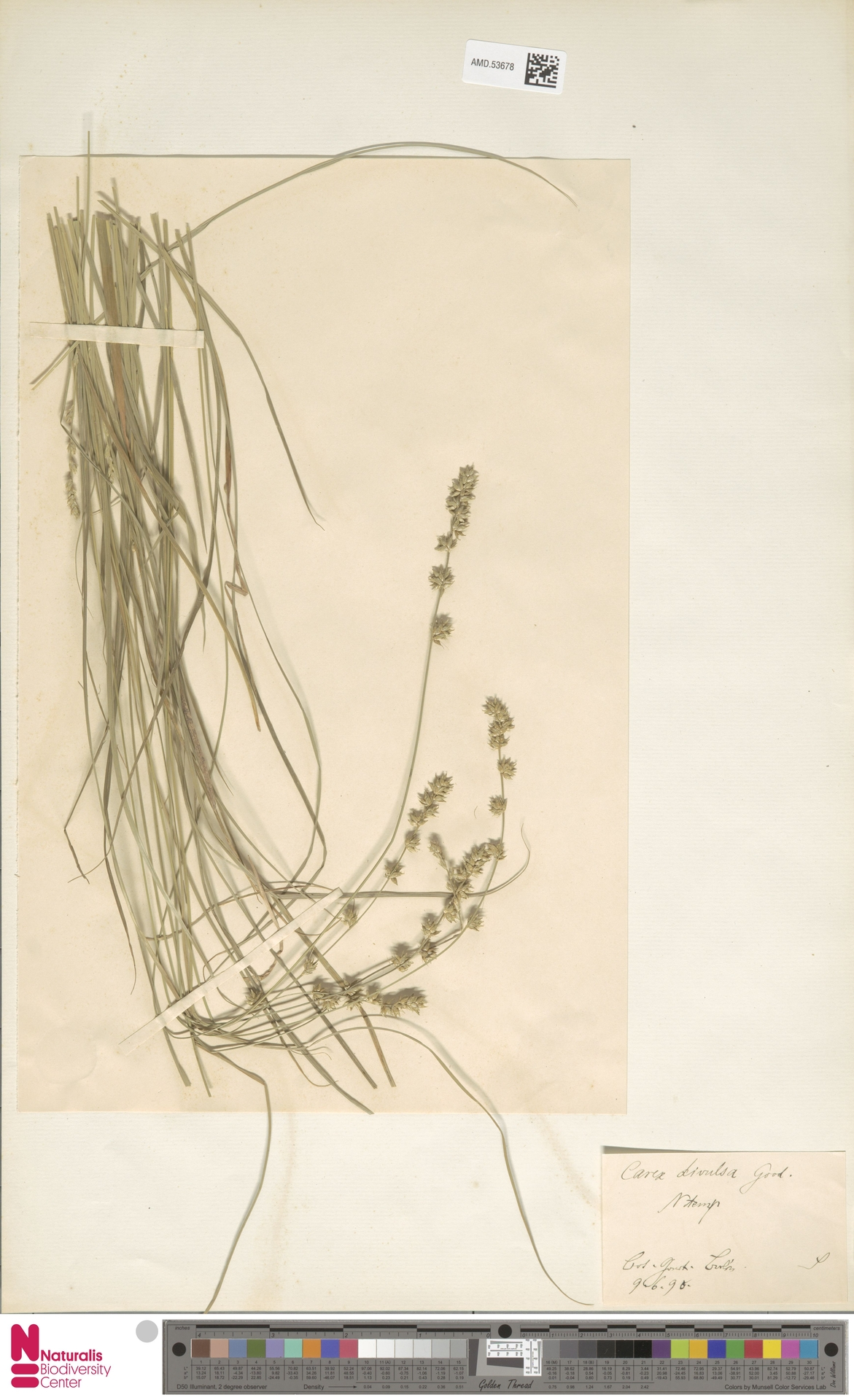 AMD.53678 | Carex divulsa Stokes