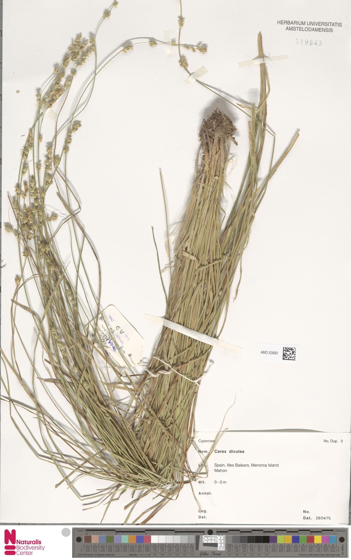 AMD.53682 | Carex divulsa Stokes