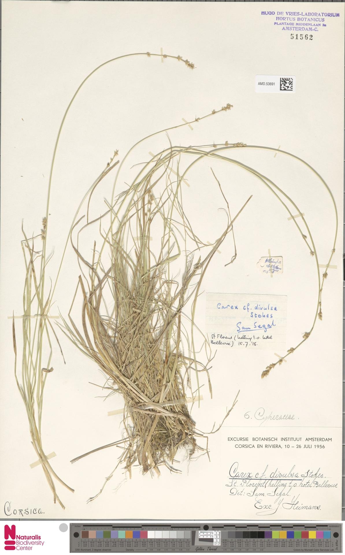 AMD.53691   Carex divulsa Stokes