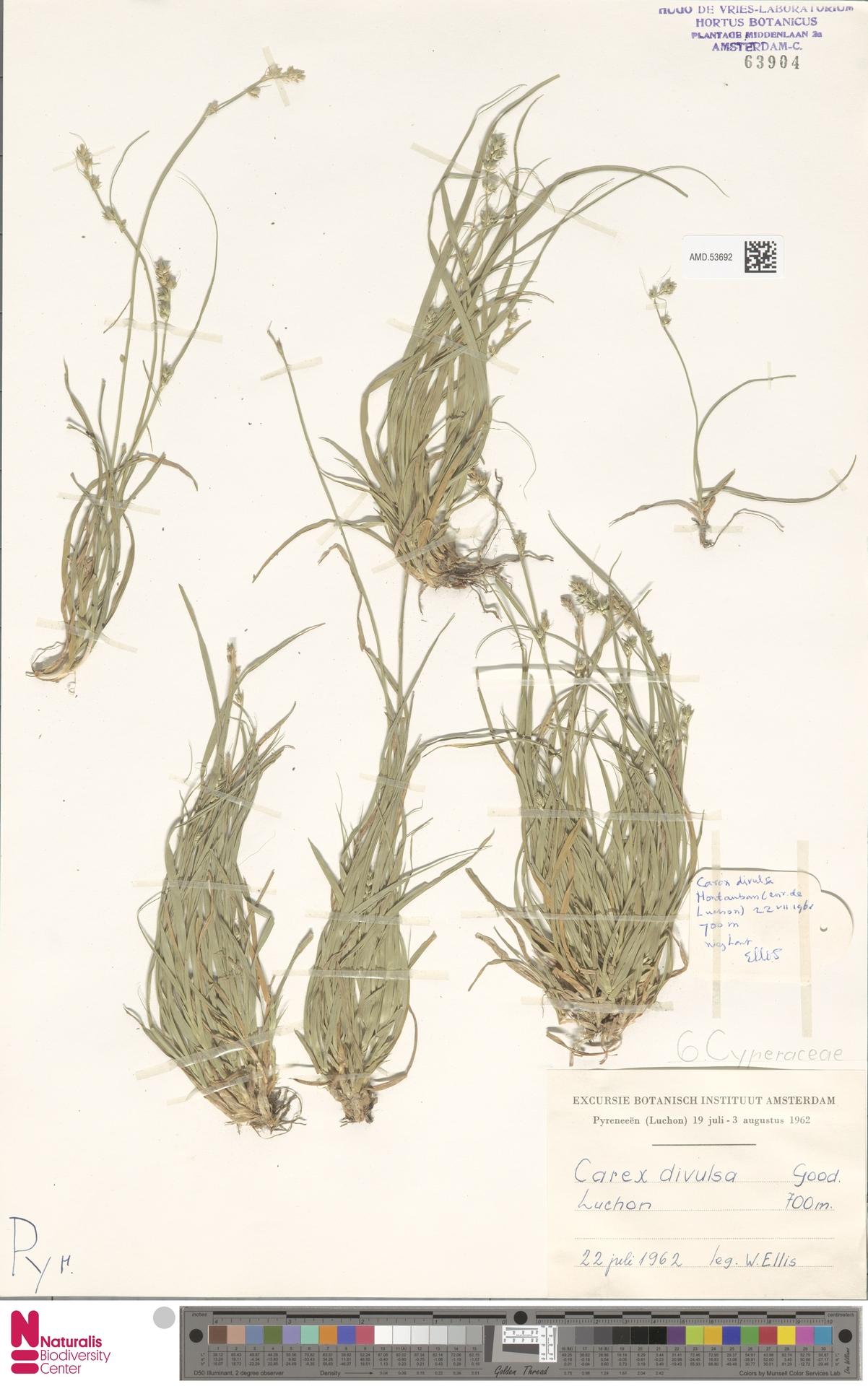 AMD.53692 | Carex divulsa Stokes