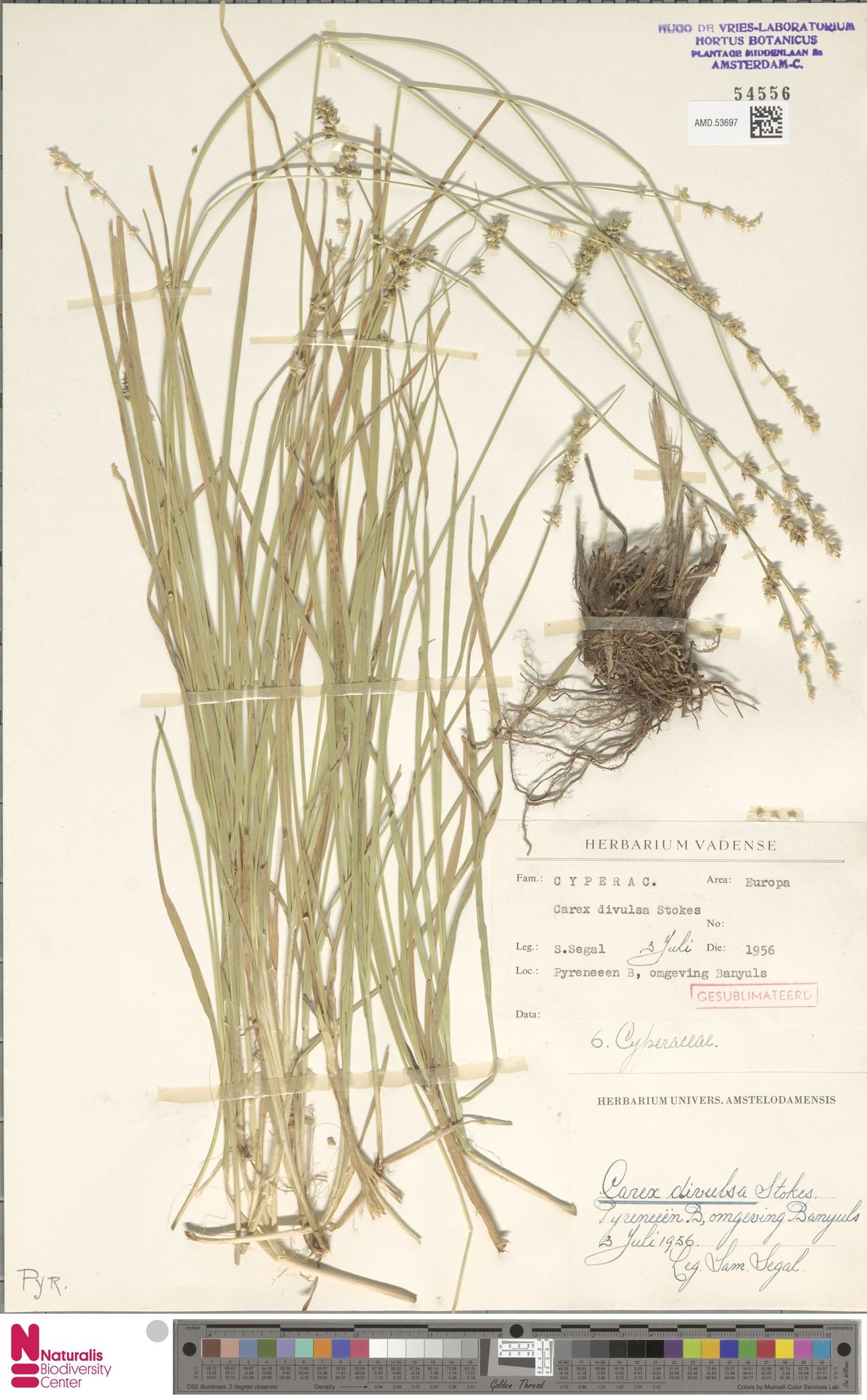 AMD.53697 | Carex divulsa Stokes