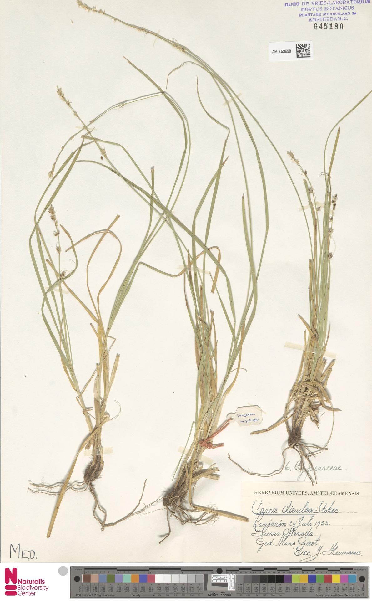 AMD.53698 | Carex divulsa Stokes