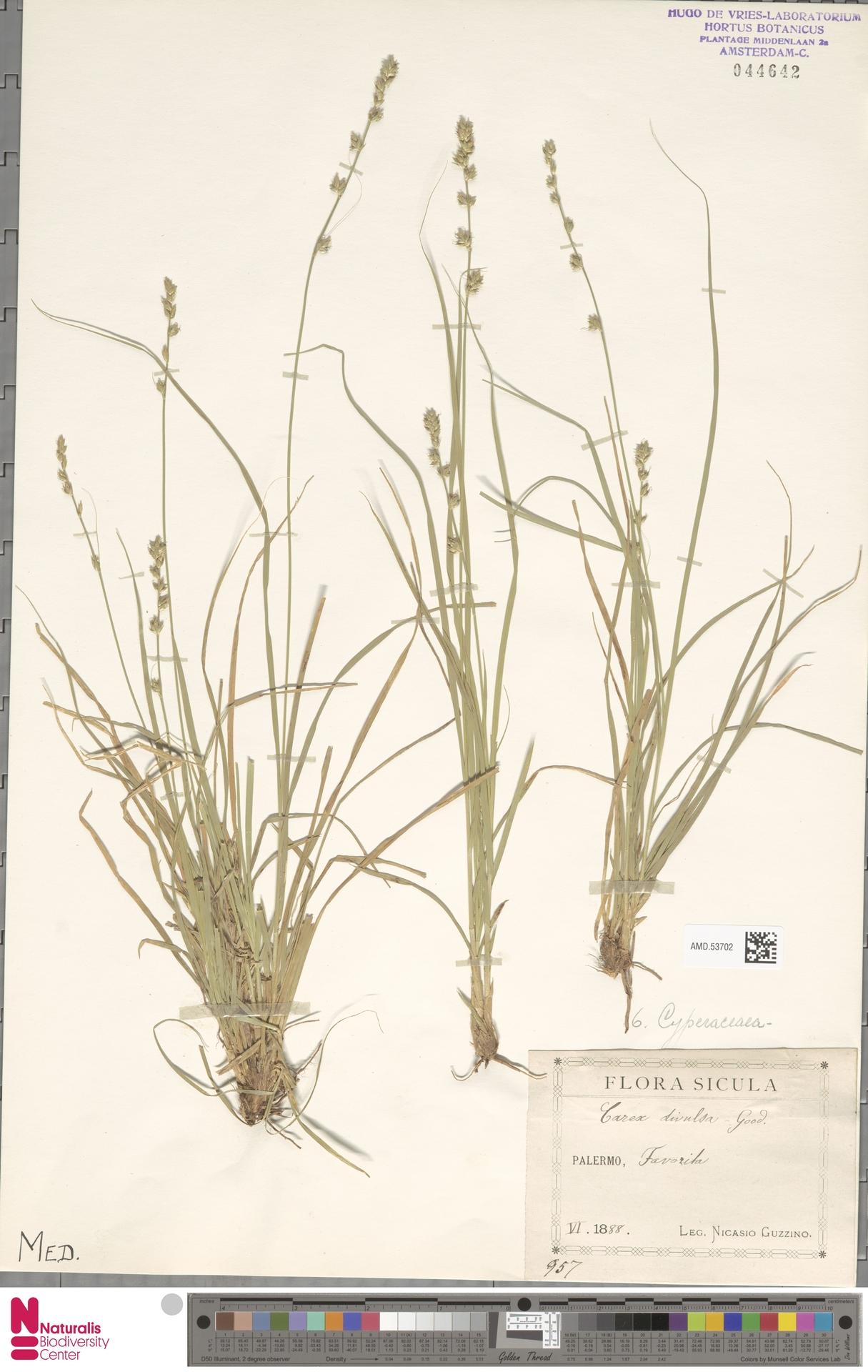 AMD.53702 | Carex divulsa Stokes
