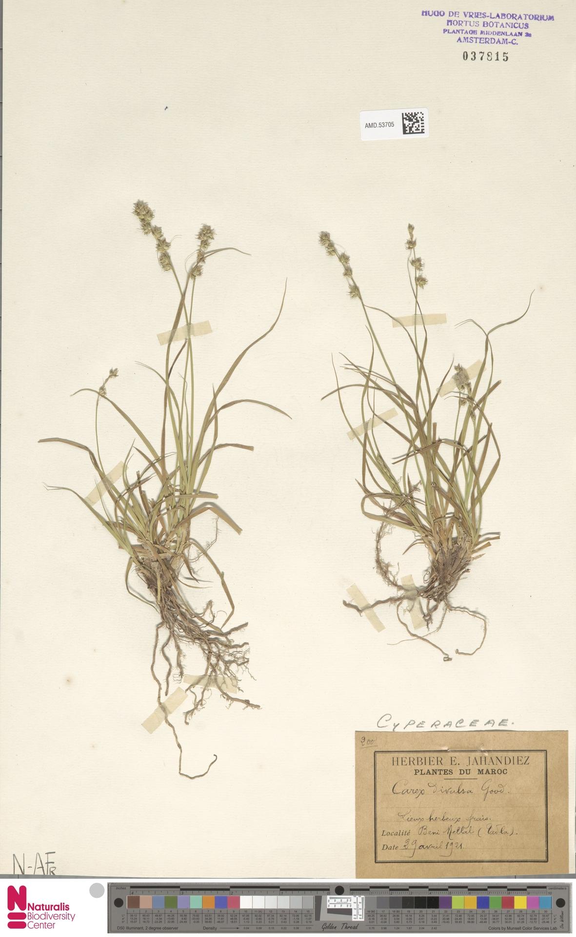 AMD.53705 | Carex divulsa Stokes