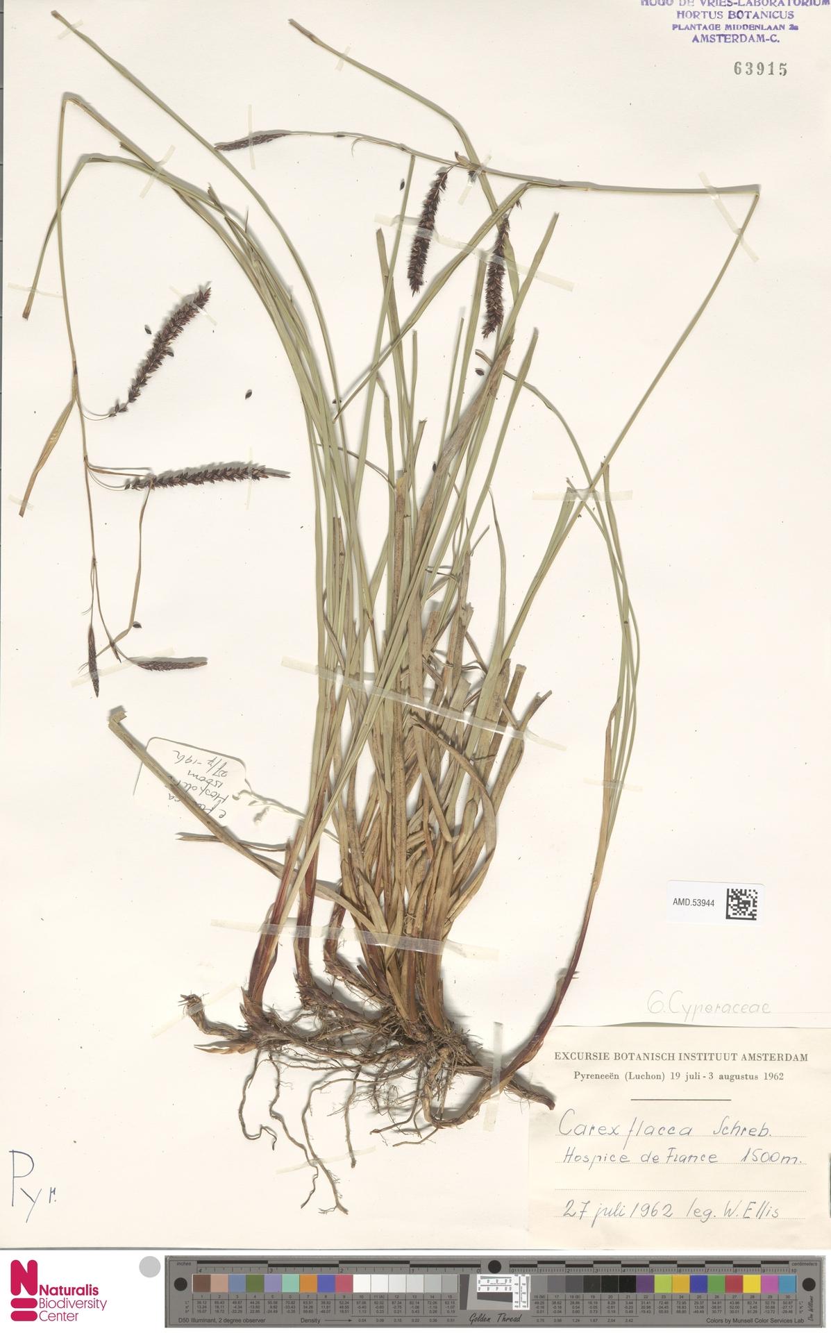 AMD.53944 | Carex flacca Schreb.