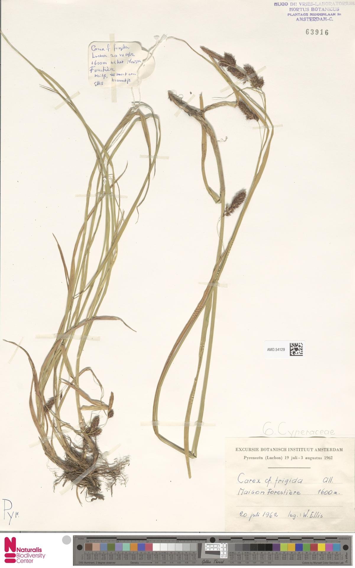 AMD.54129 | Carex frigida All.