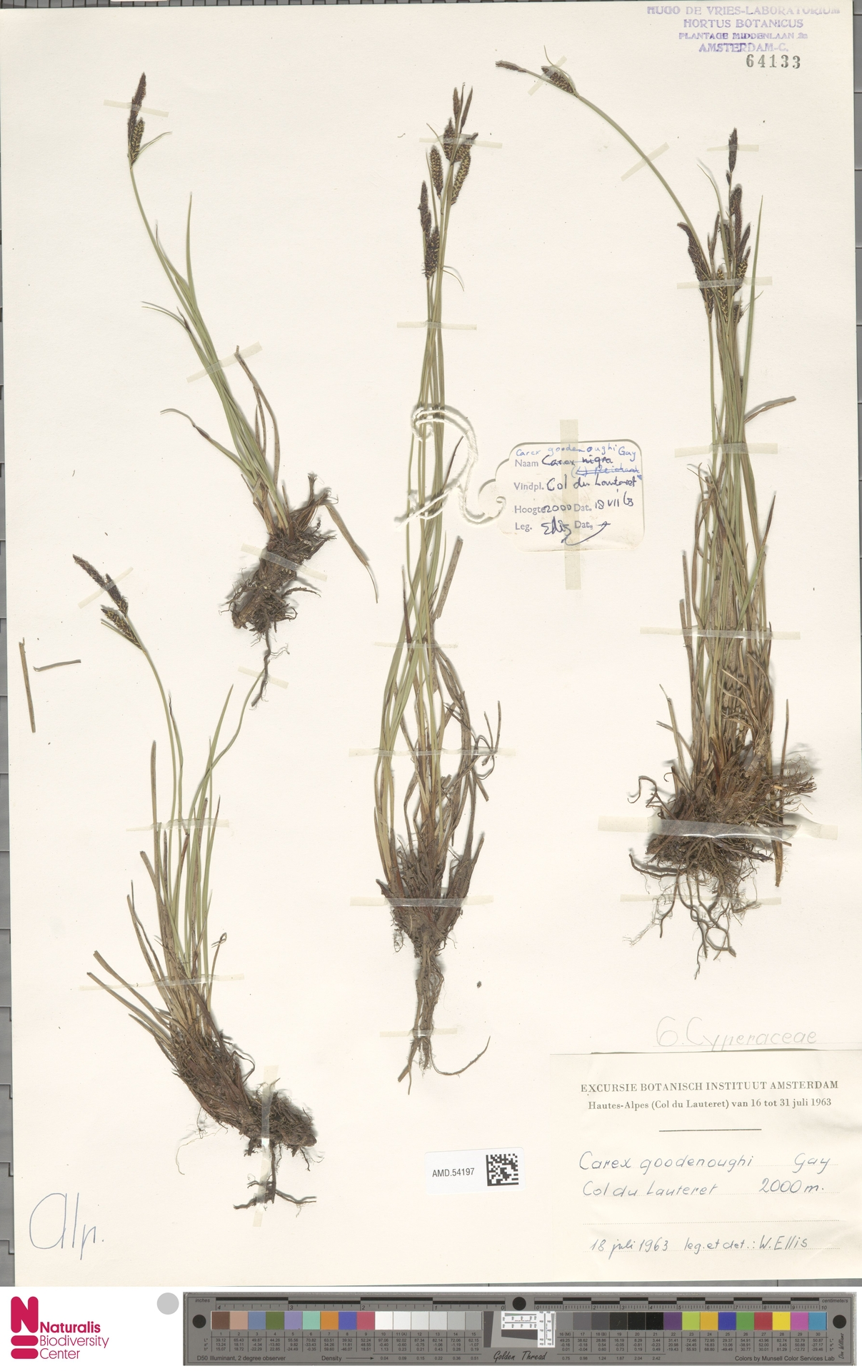 AMD.54197 | Carex goodenoughii Gay