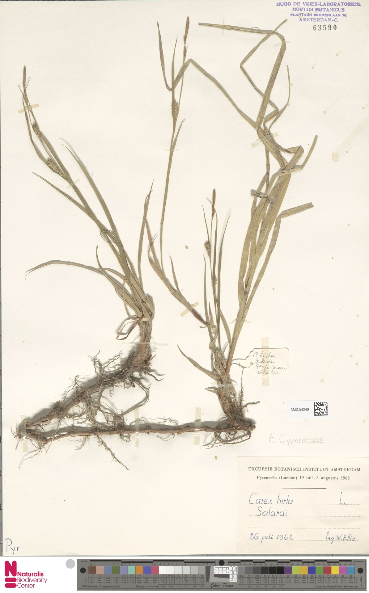 AMD.54249 | Carex hirta L.