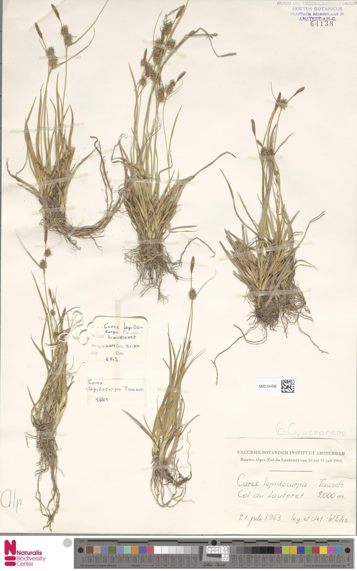 AMD.54496   Carex lepidocarpa Tausch