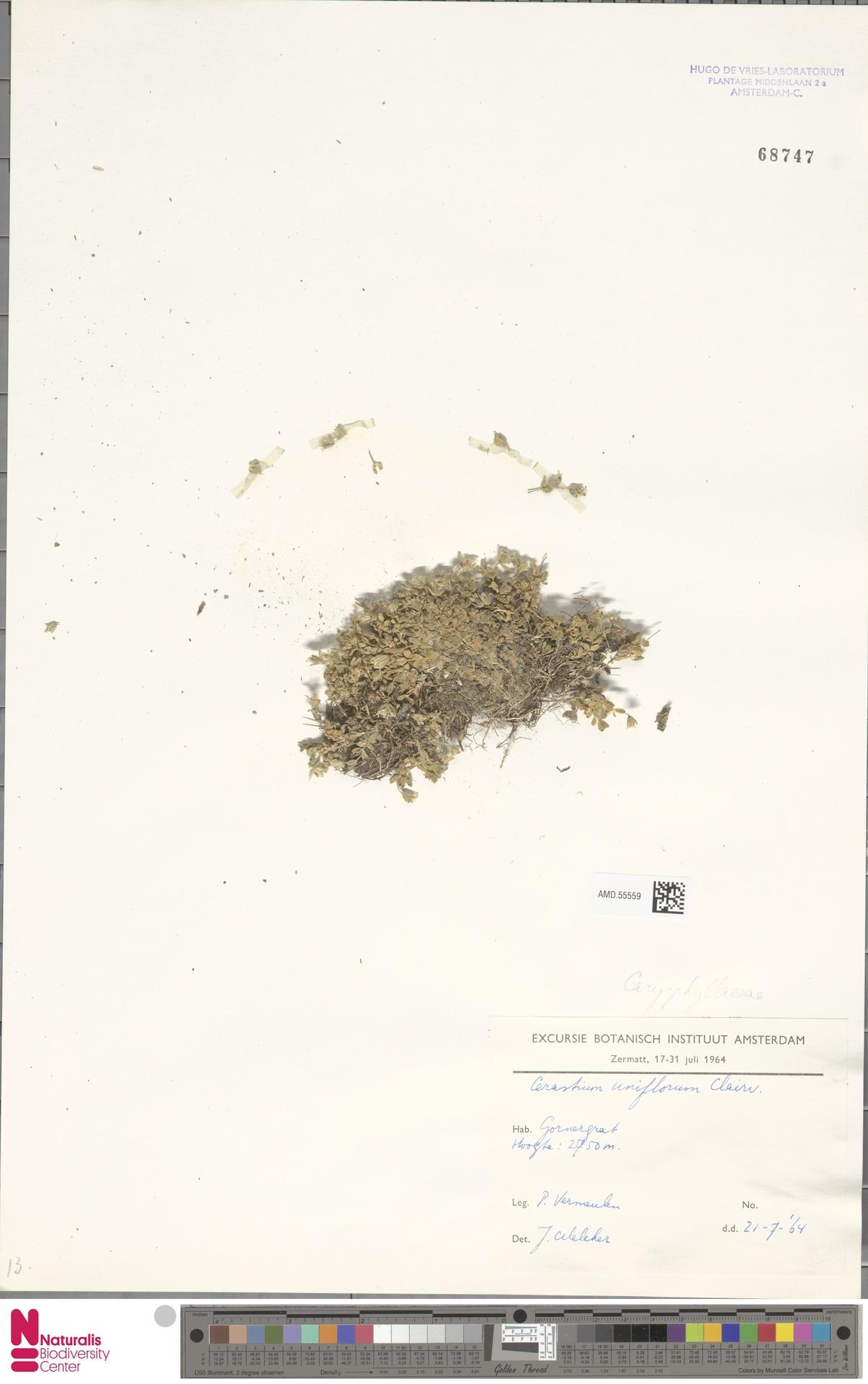 AMD.55559 | Cerastium uniflorum Clairv.