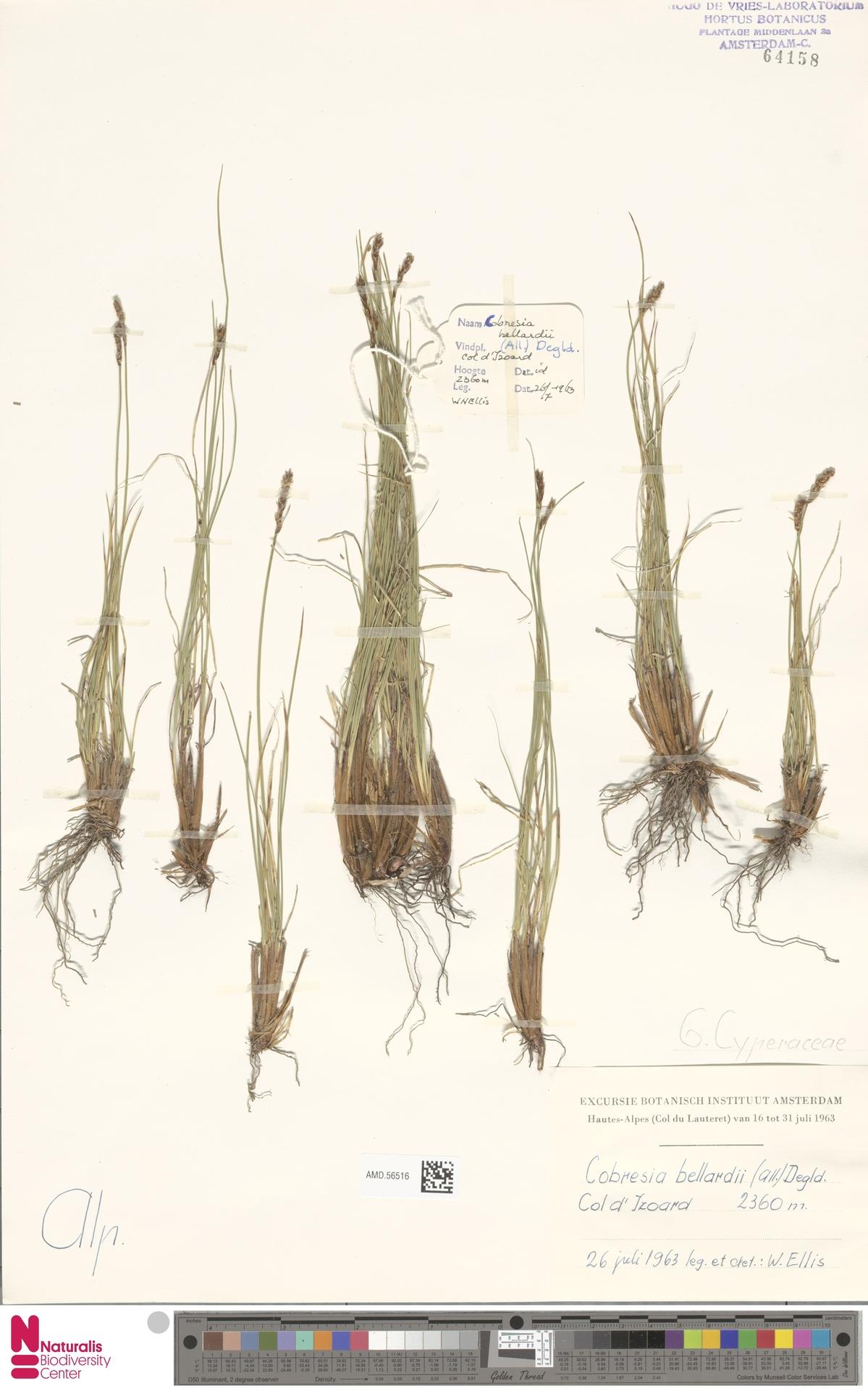 AMD.56516 | Kobresia bellardii (All.) Degl. ex Loisel.