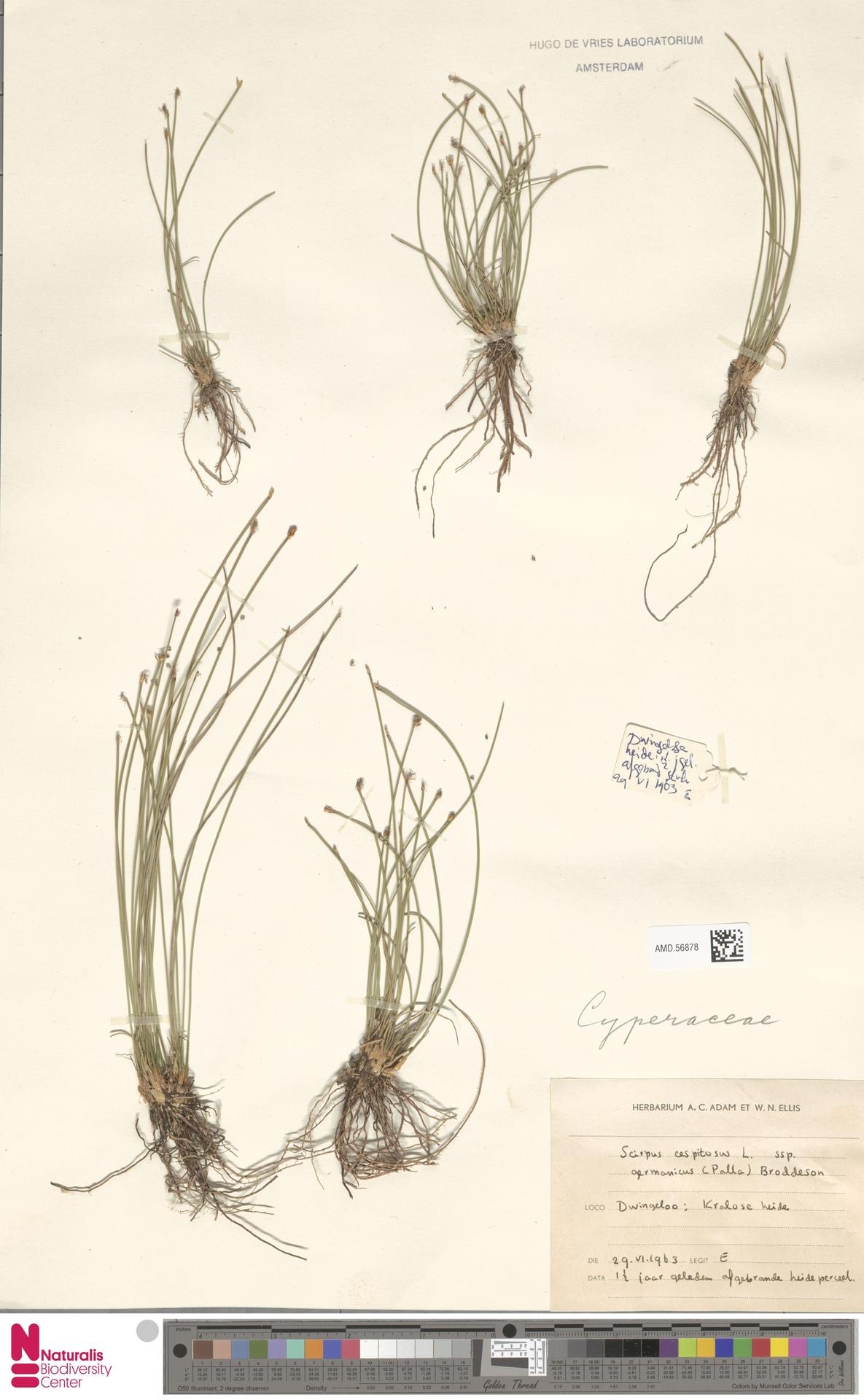 AMD.56878 | Scirpus cespitosus subsp. germanicus (Palla) Brodd.