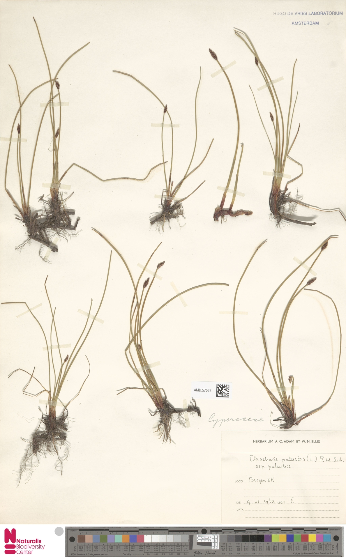 AMD.57538 | Eleocharis palustris subsp. palustris