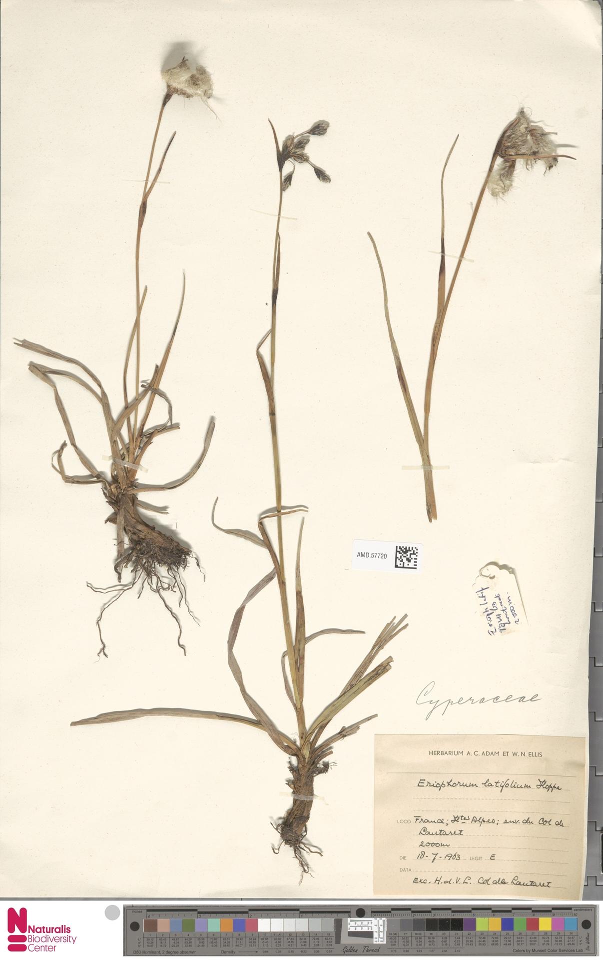 AMD.57720 | Eriophorum latifolium Hoppe