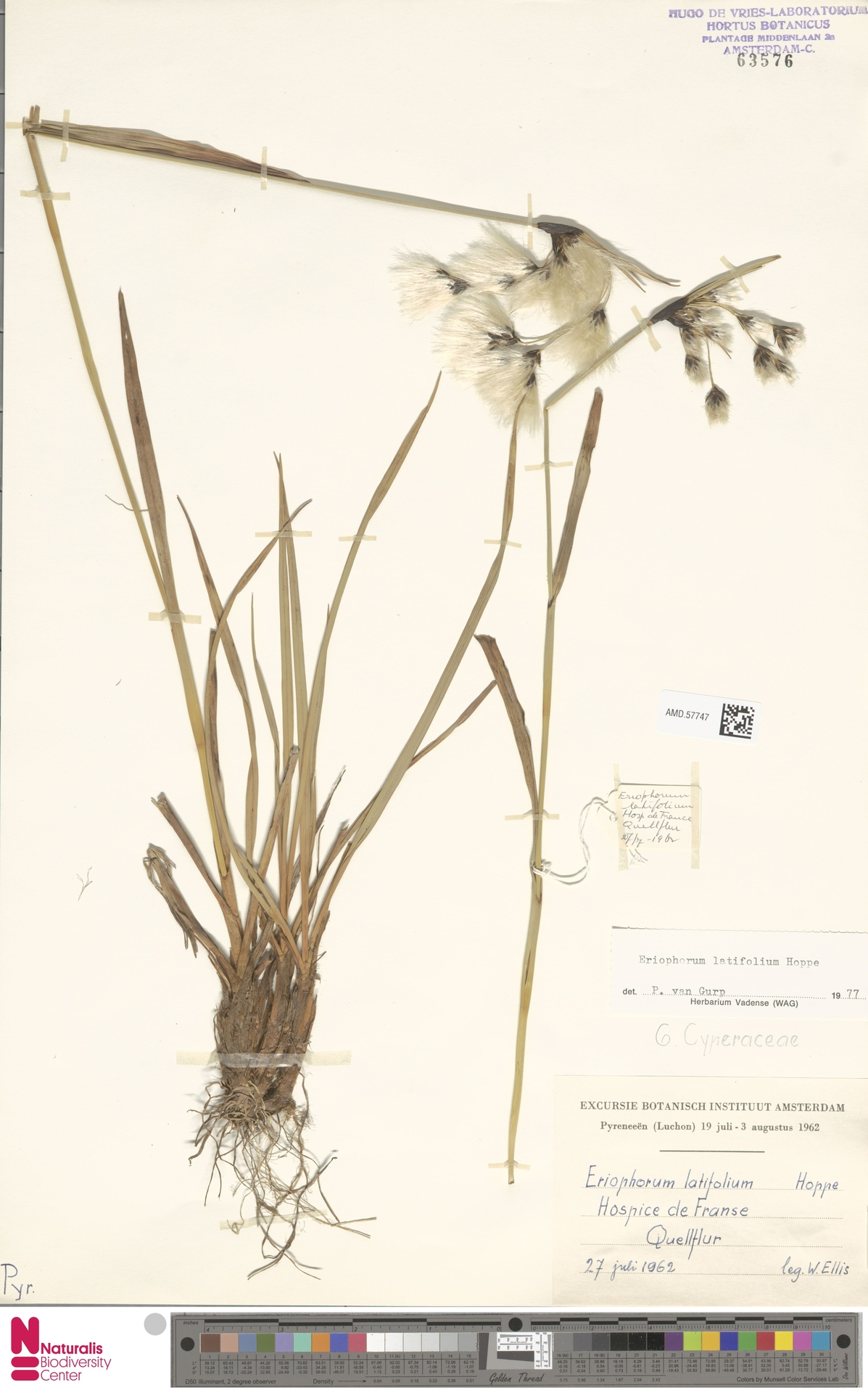 AMD.57747 | Eriophorum latifolium Hoppe