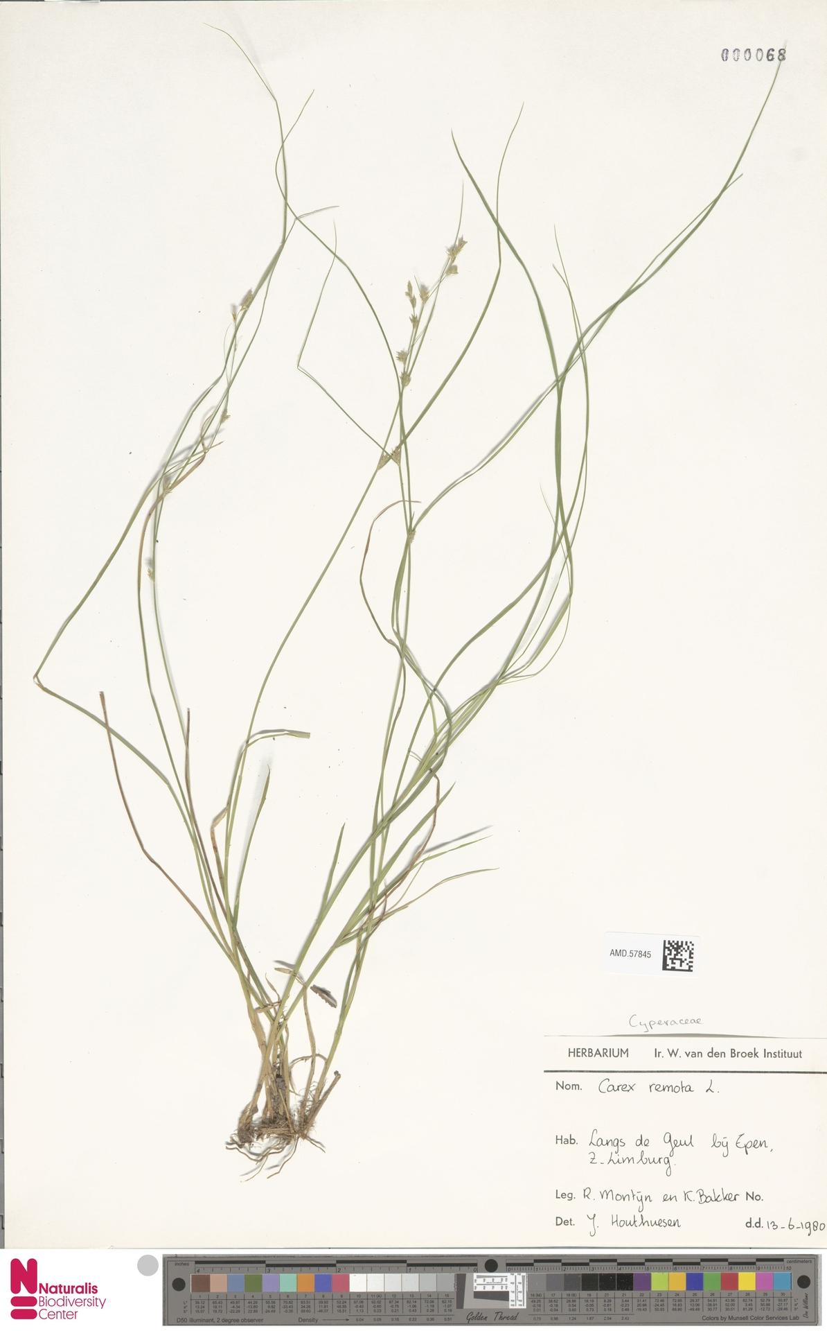 AMD.57845 | Carex remota L.