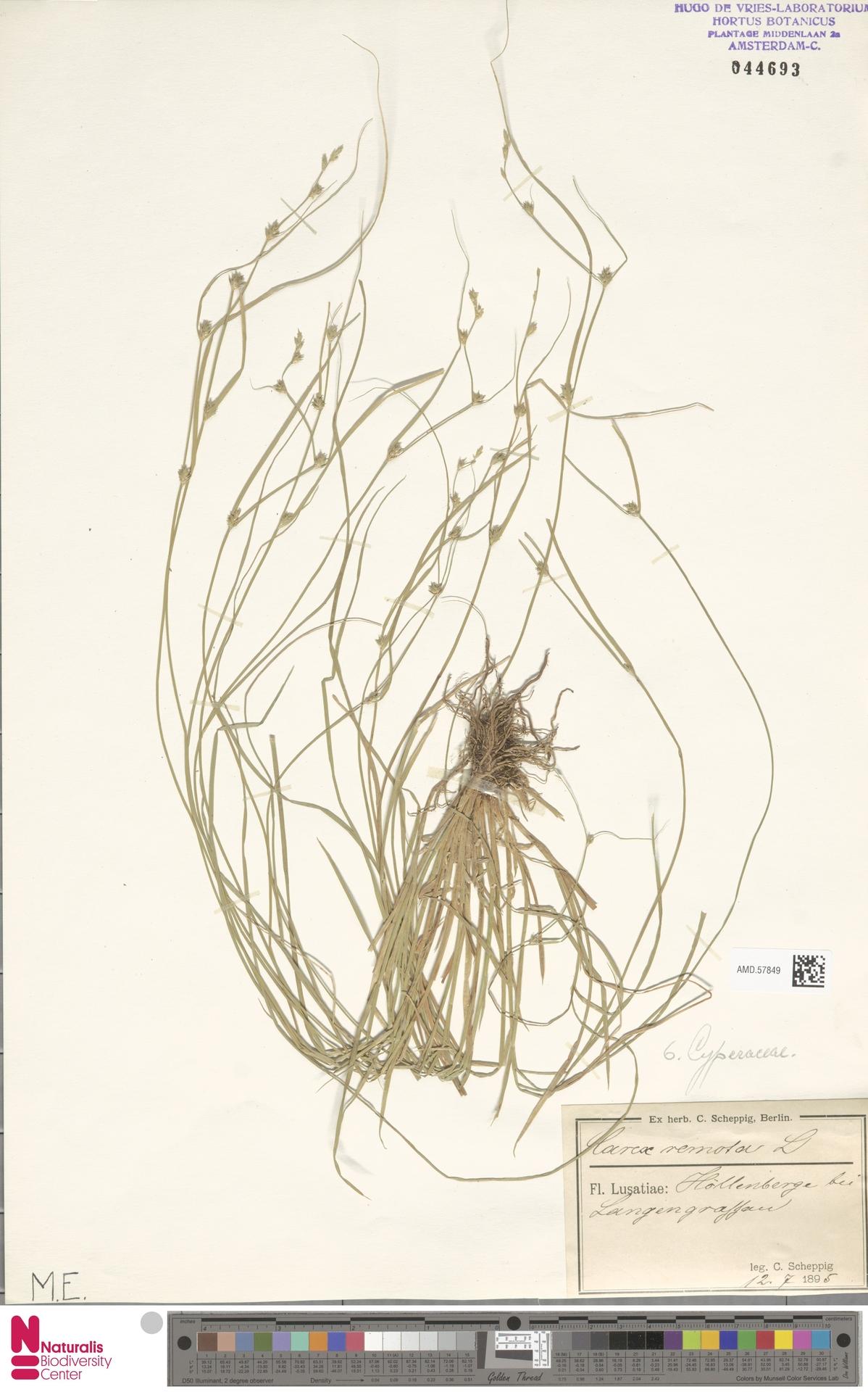 AMD.57849 | Carex remota L.