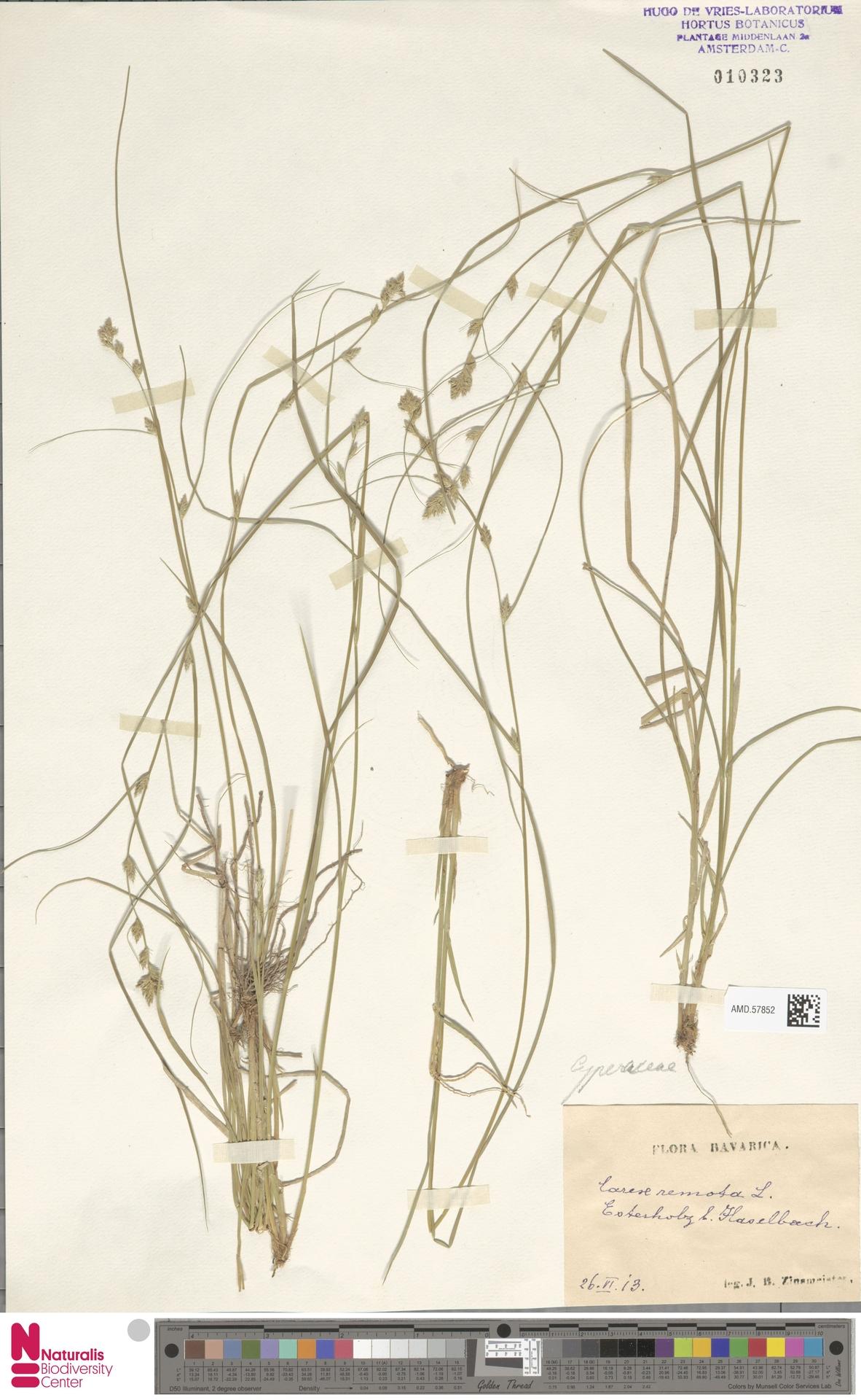 AMD.57852 | Carex remota L.