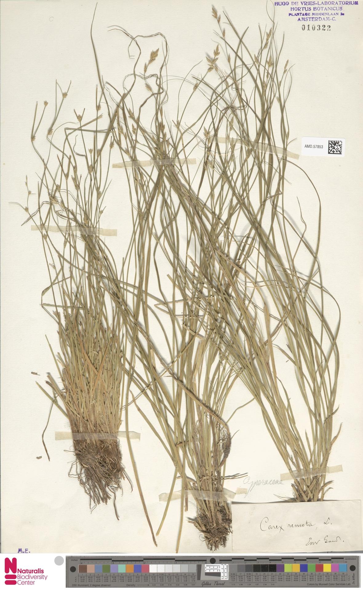 AMD.57853   Carex remota L.