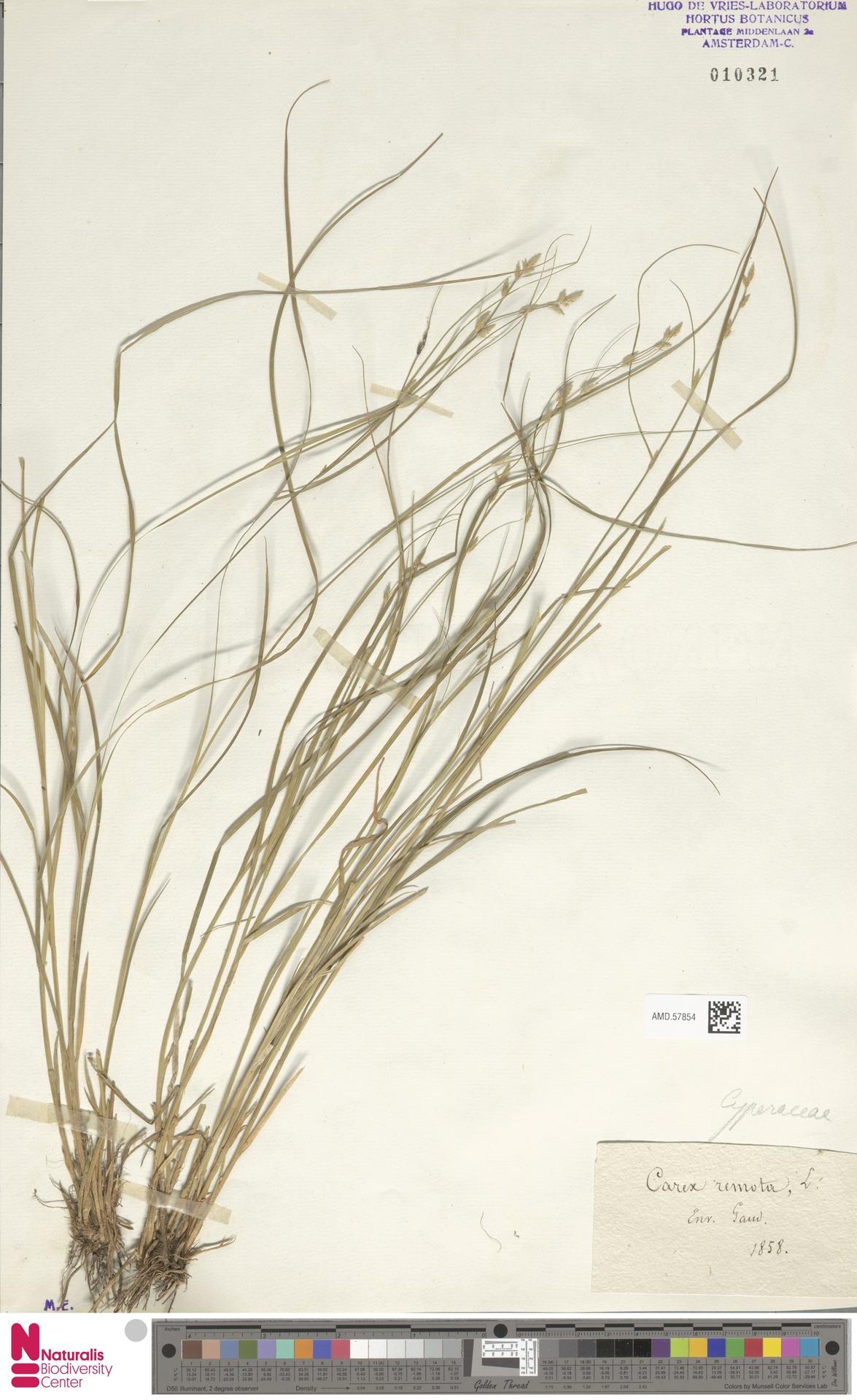 AMD.57854 | Carex remota L.
