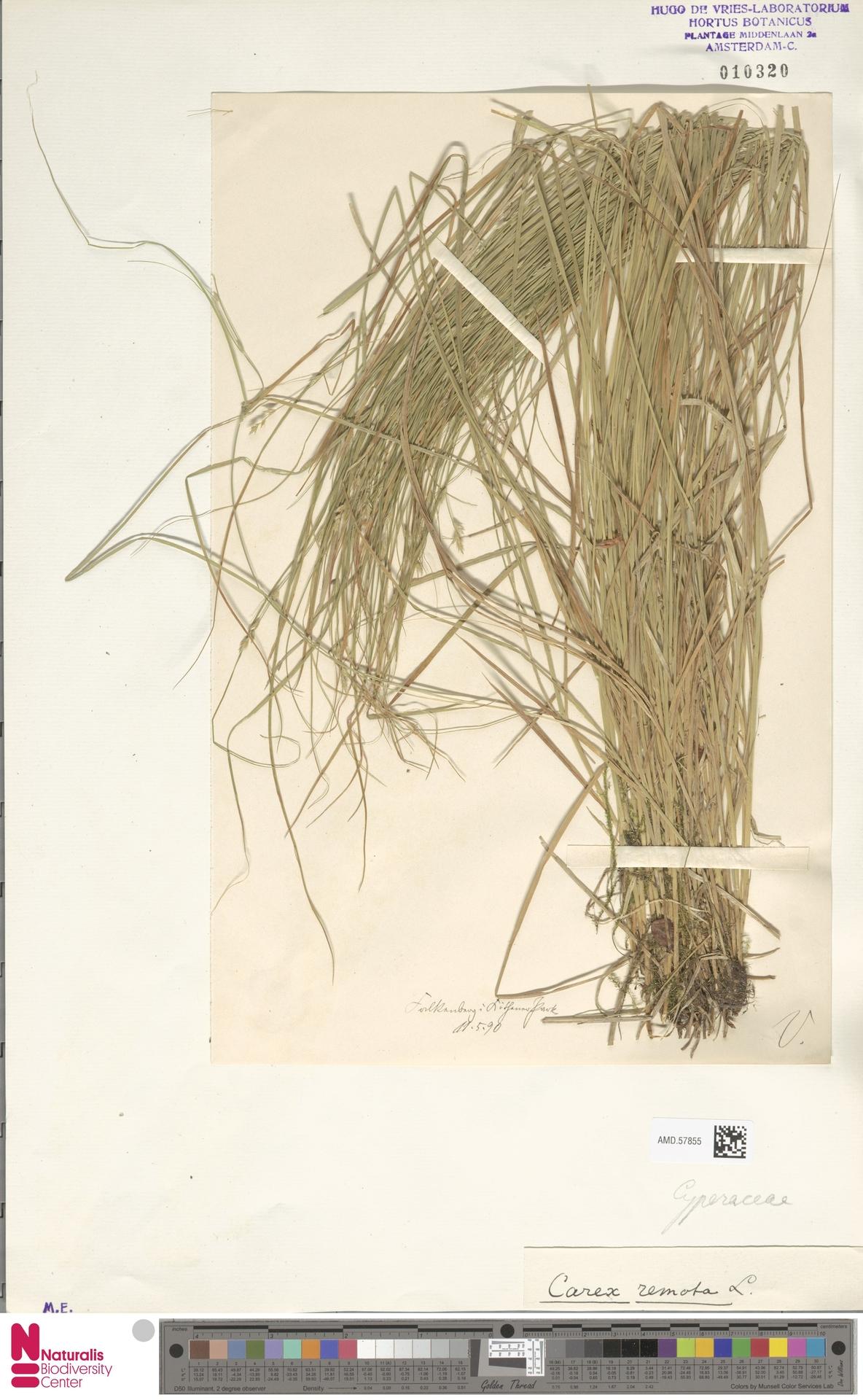 AMD.57855 | Carex remota L.