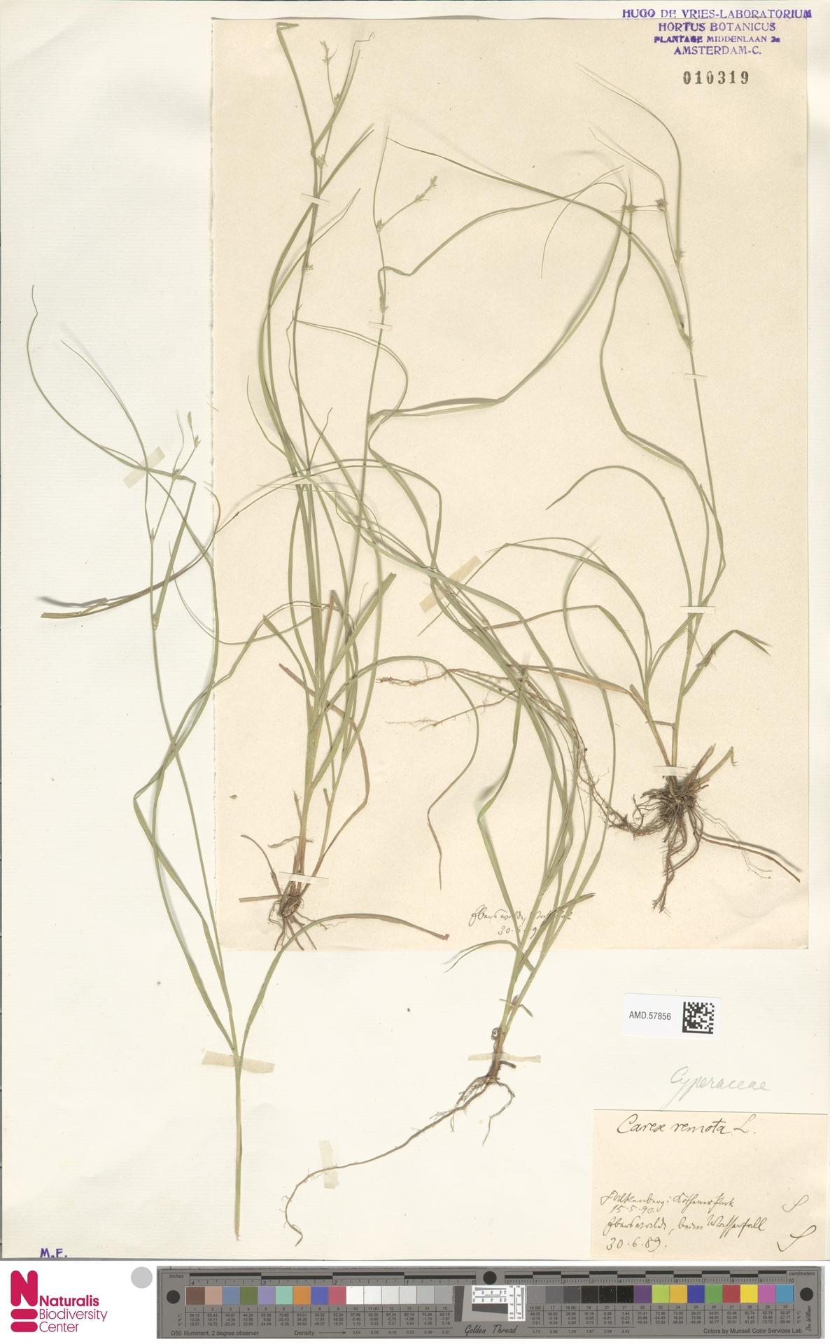 AMD.57856 | Carex remota L.