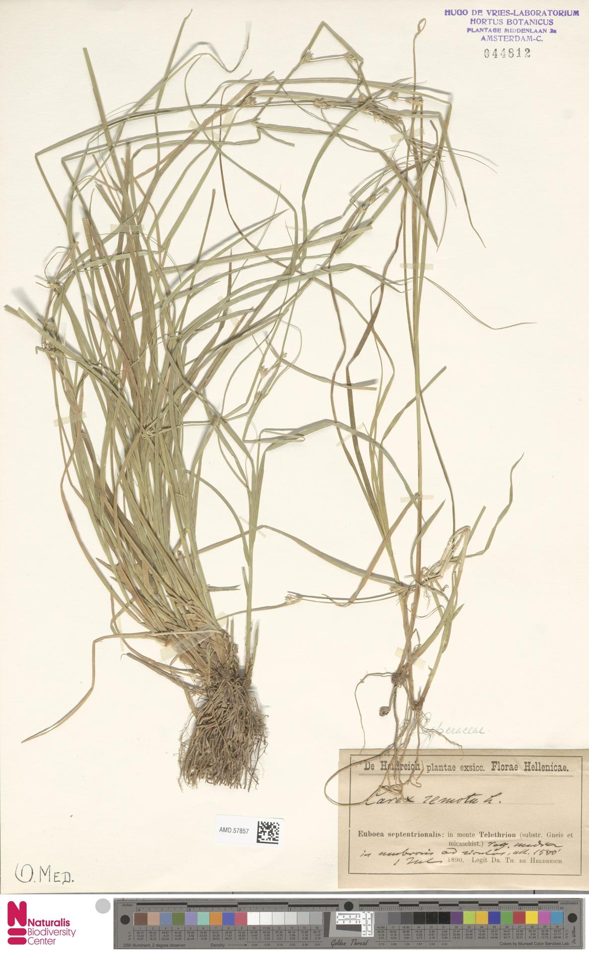 AMD.57857 | Carex remota L.