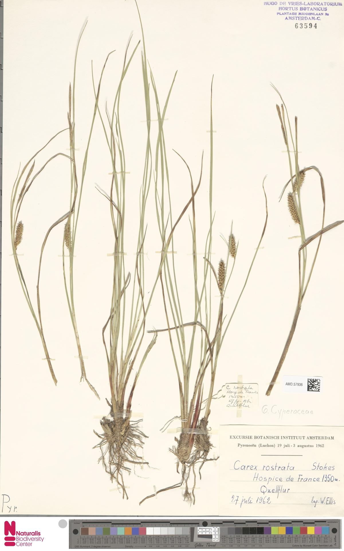 AMD.57936 | Carex rostrata Stokes