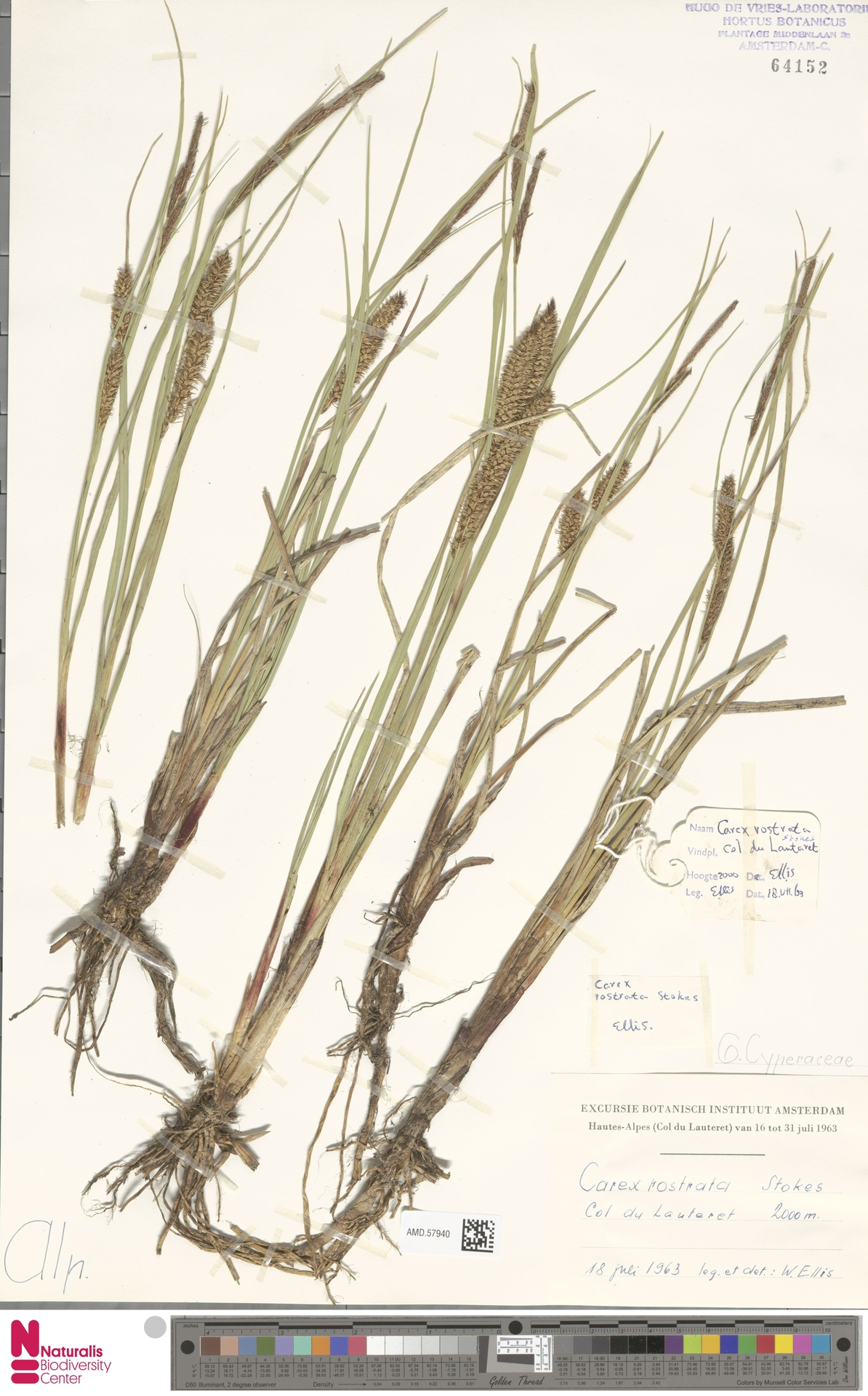AMD.57940 | Carex rostrata Stokes