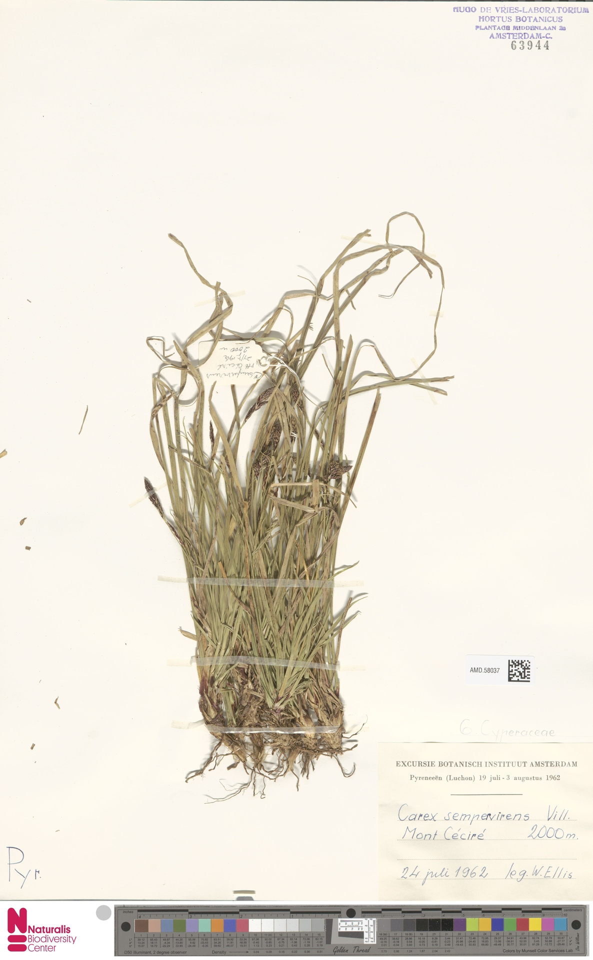 AMD.58037 | Carex sempervirens Vill.