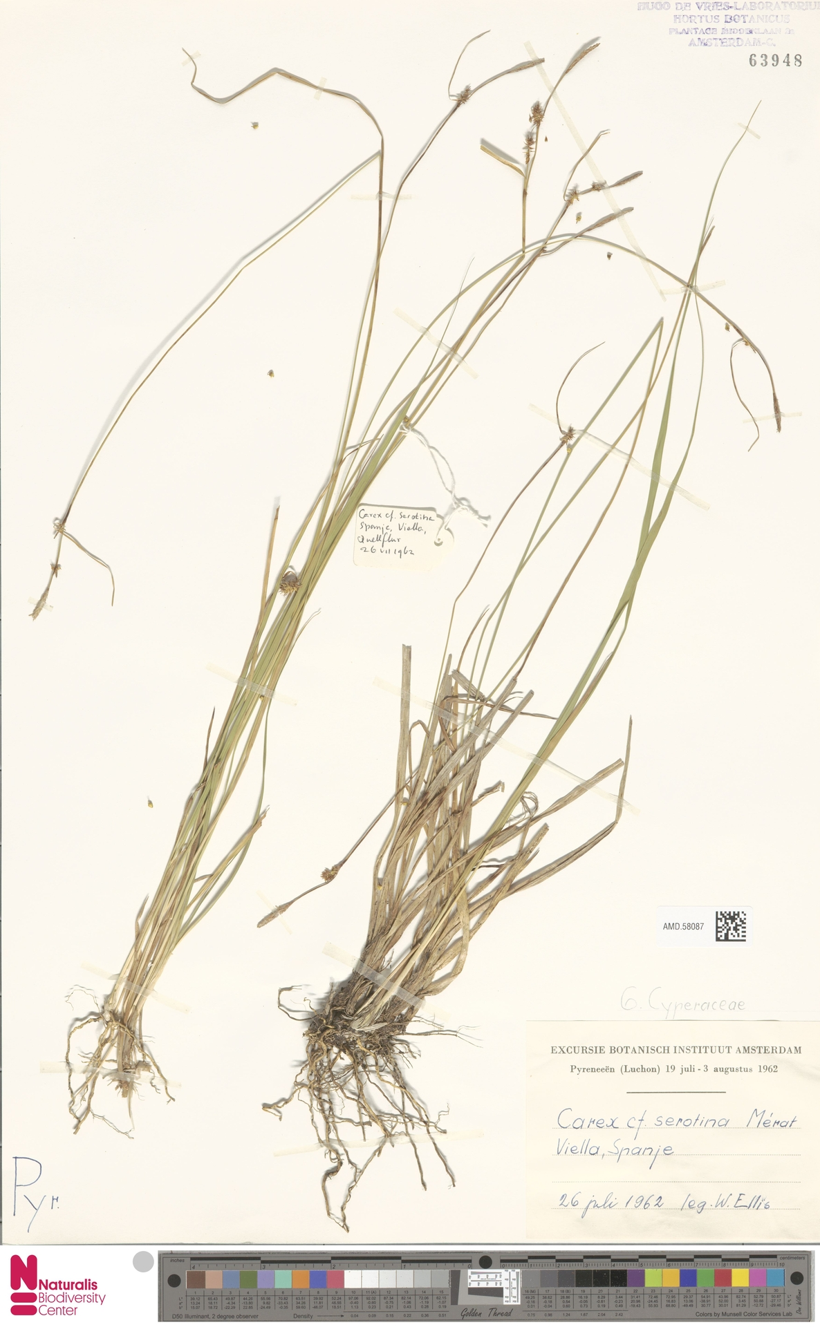 AMD.58087 | Carex serotina Mérat