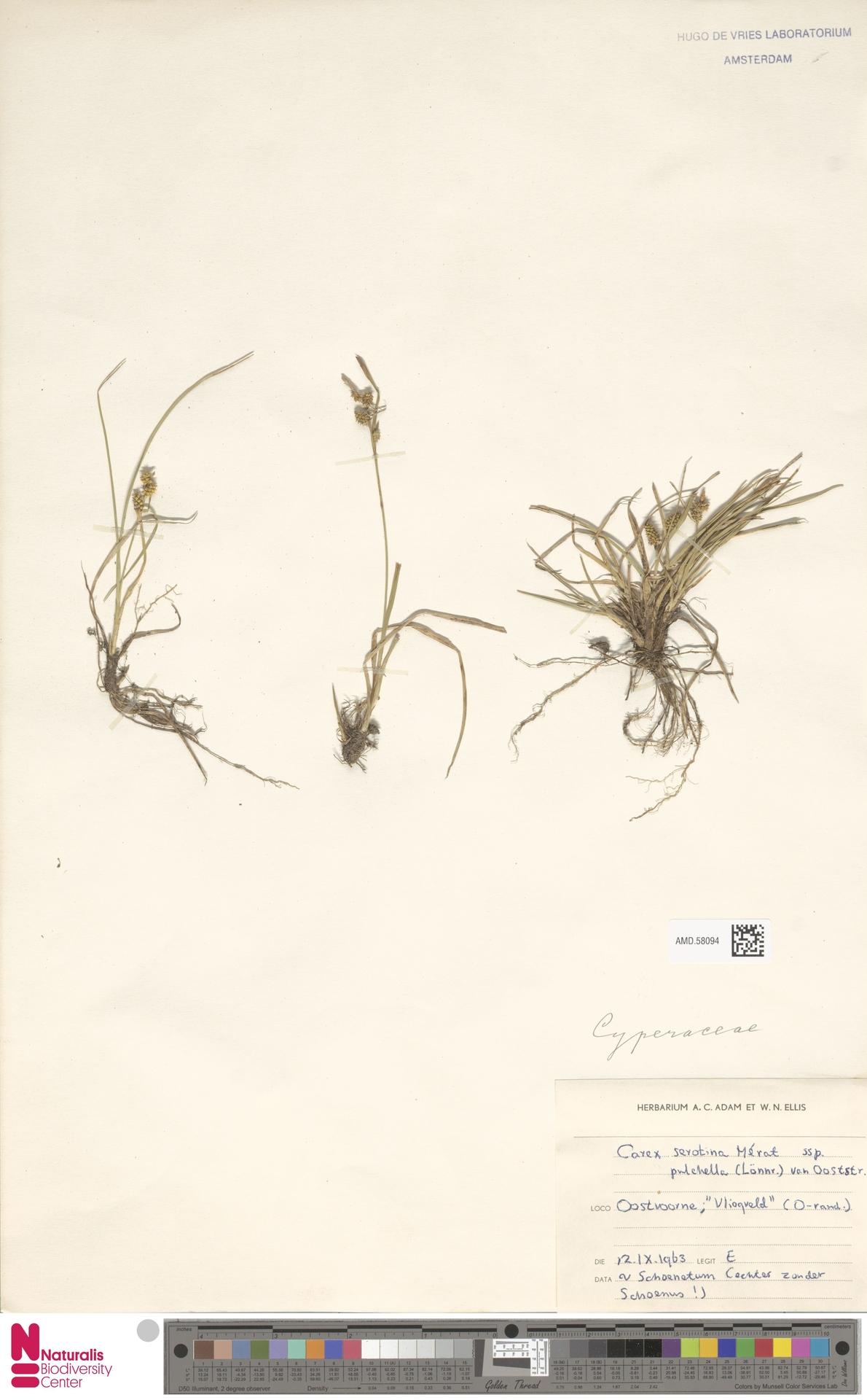 AMD.58094   Carex serotina subsp. pulchella (Lönnr.) Ooststr.