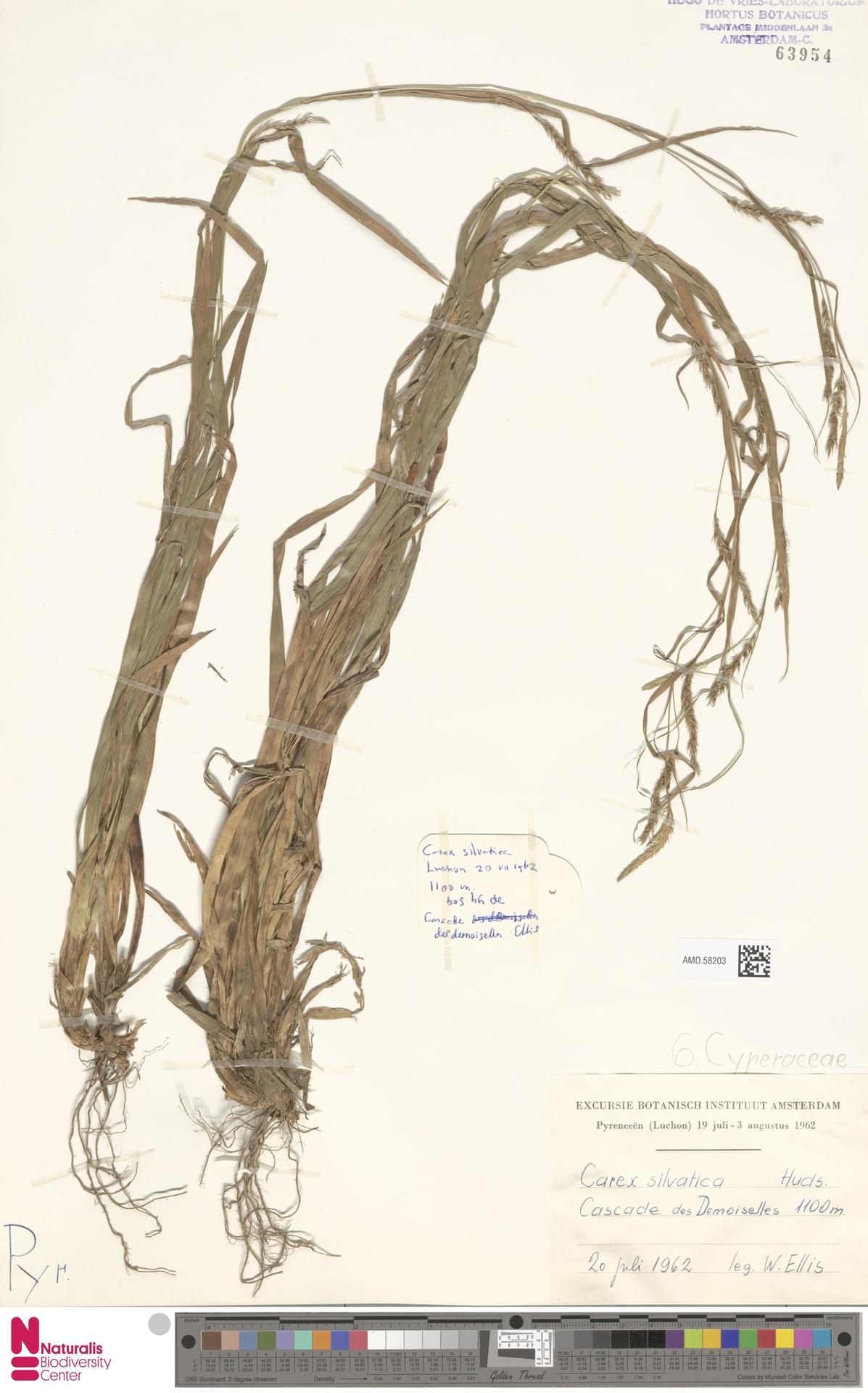 AMD.58203 | Carex sylvatica Huds.