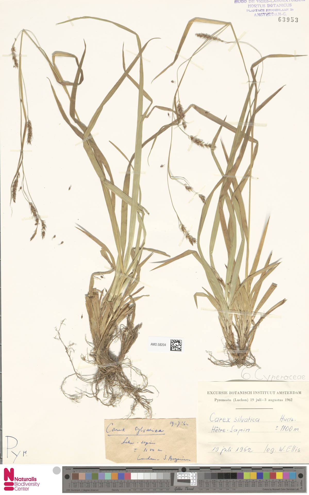 AMD.58204 | Carex sylvatica Huds.